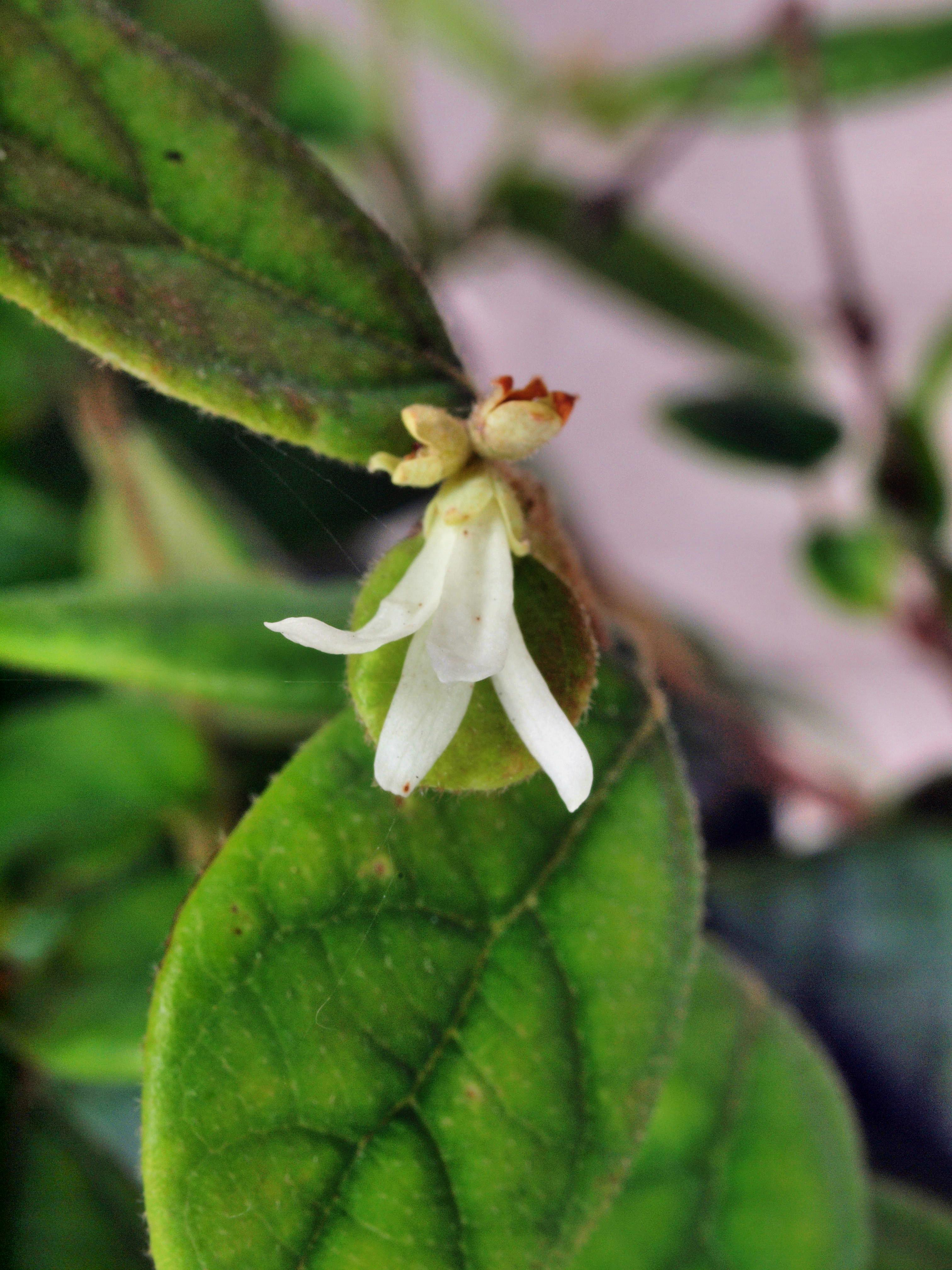 Loropetalum-chinense-2.jpeg