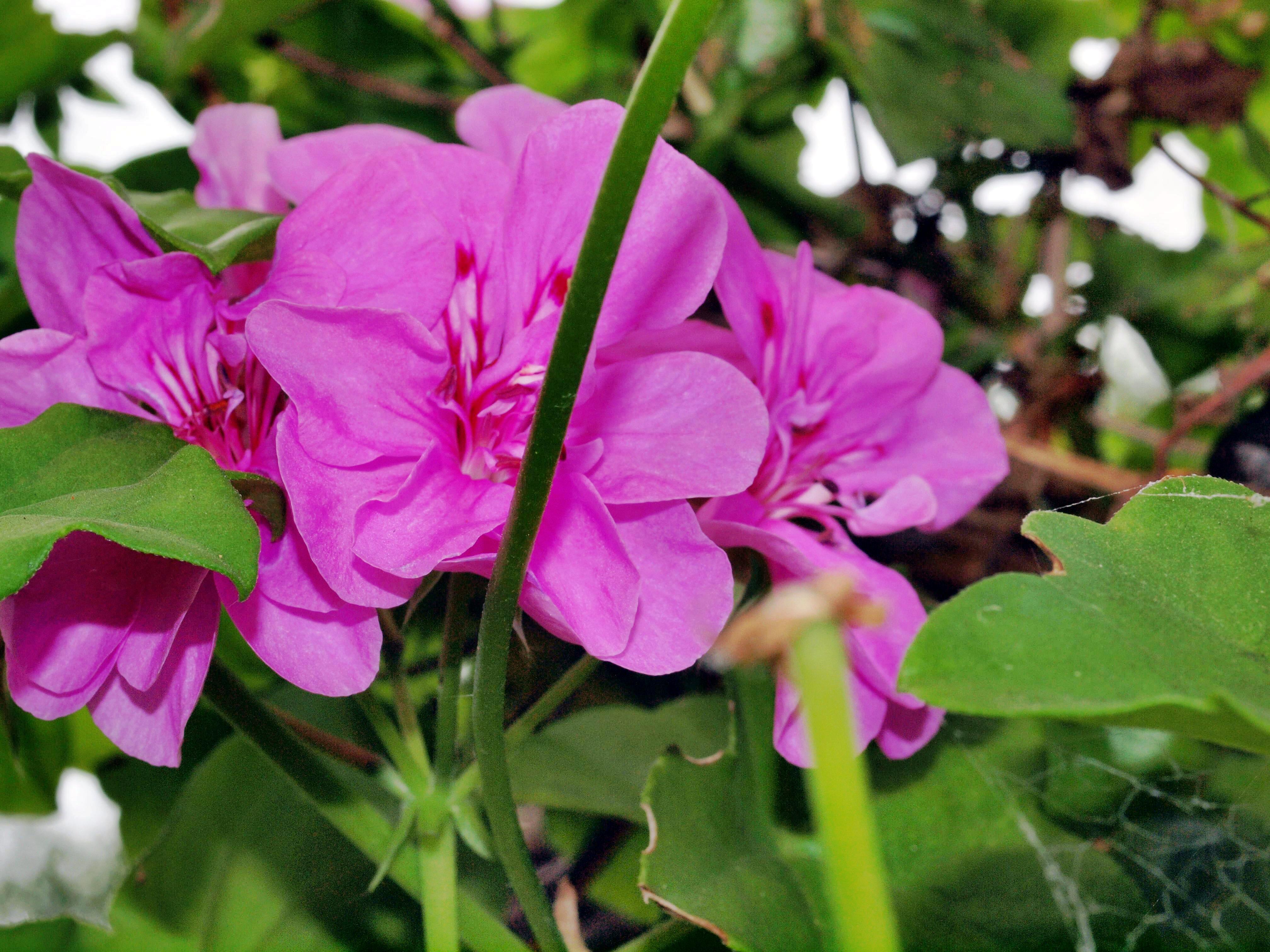 Pelargonium-8.jpeg