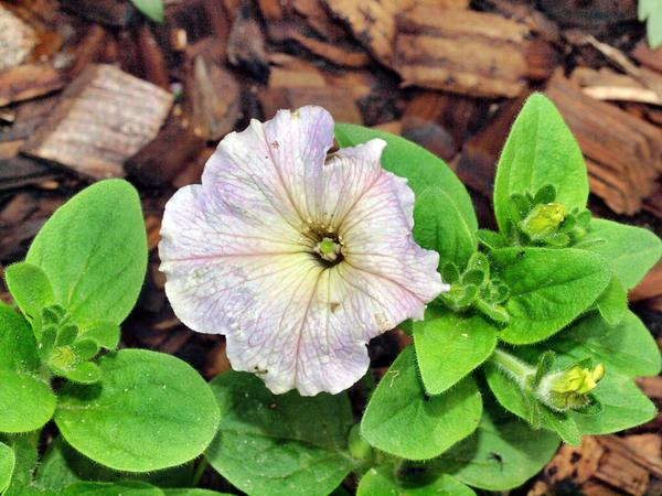 Petunia-7.jpeg