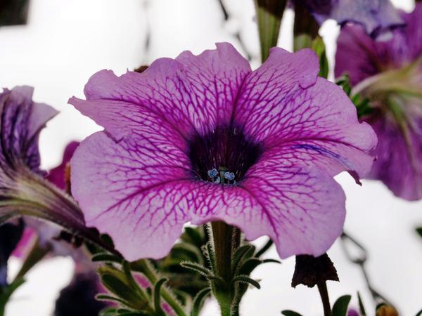Petunia-9.jpeg