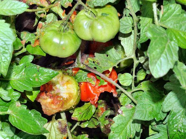 Solanum-lycopersicum-2.jpeg