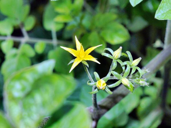 Solanum-lycopersicum-3.jpeg