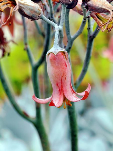 Succulent-flower.jpeg