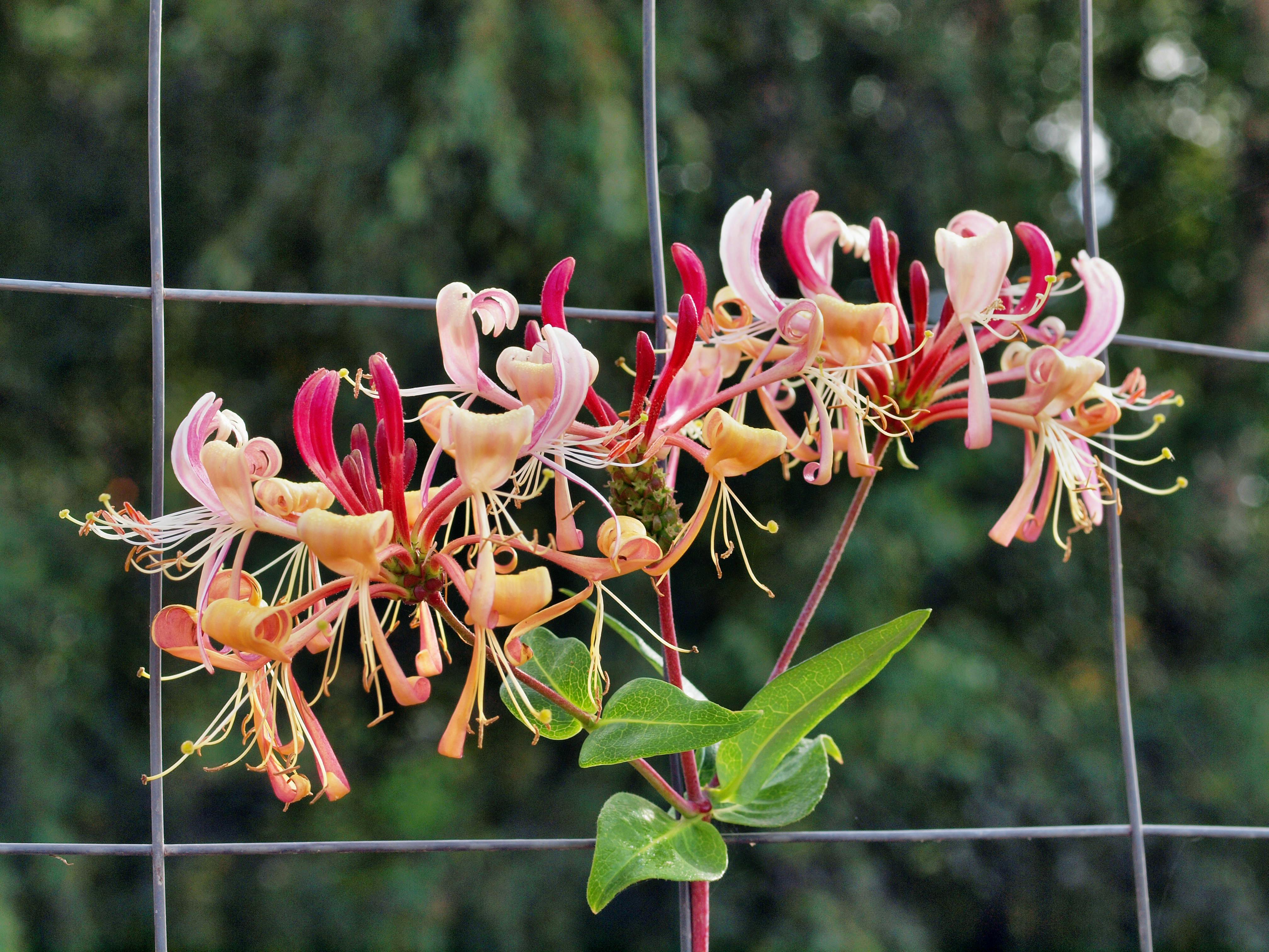 This should be Lonicera.jpeg.  Is it missing?
