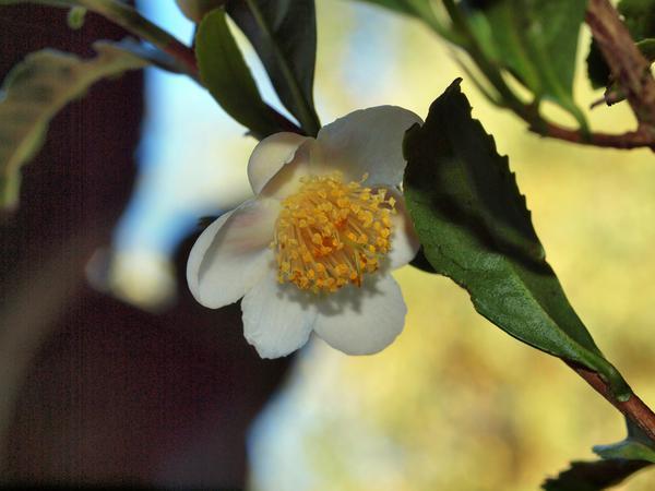 Camellia-sinensis-1.jpeg