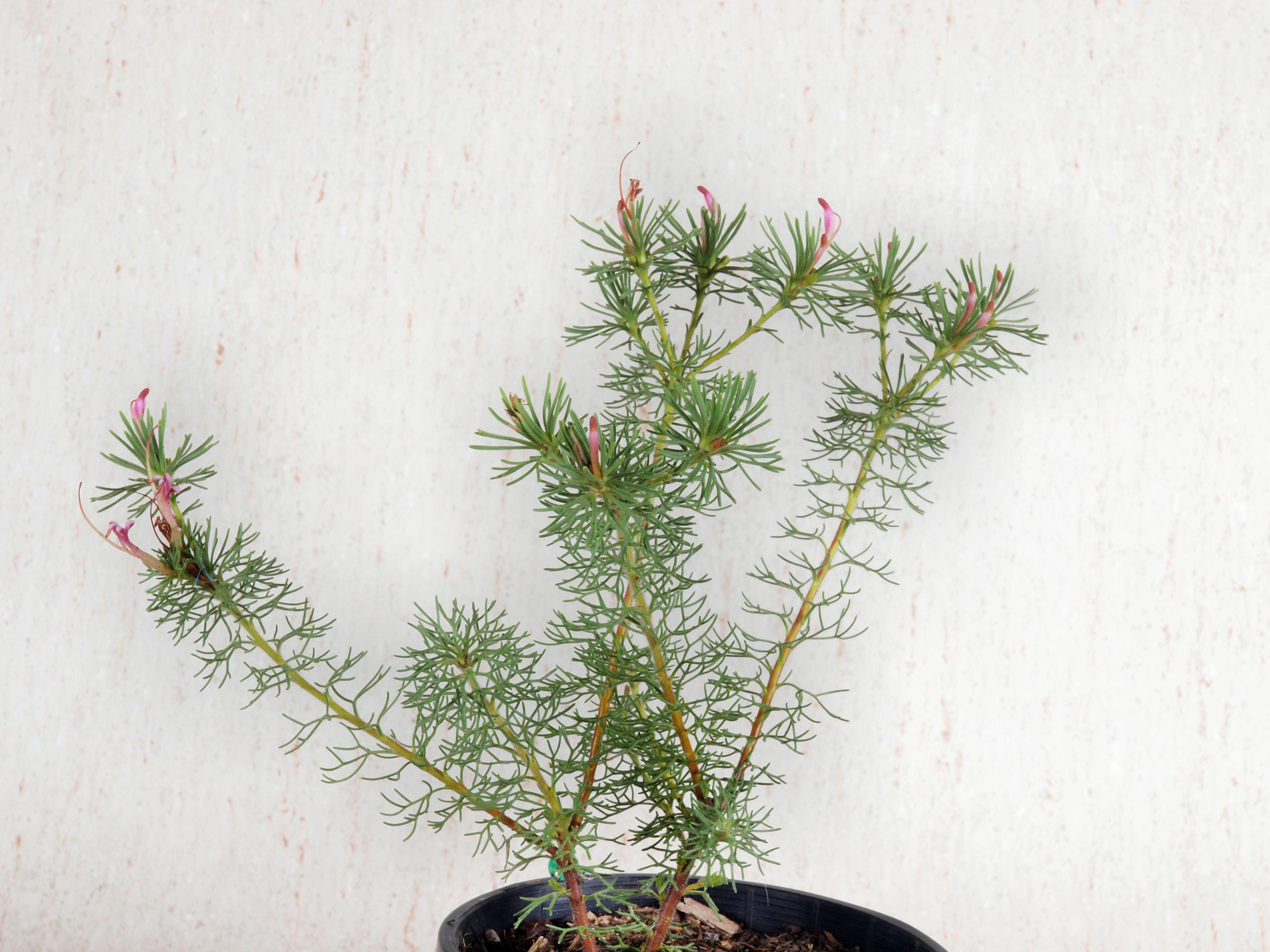 This should be Adenanthos-cunninghamii-1.jpeg.  Is it missing?