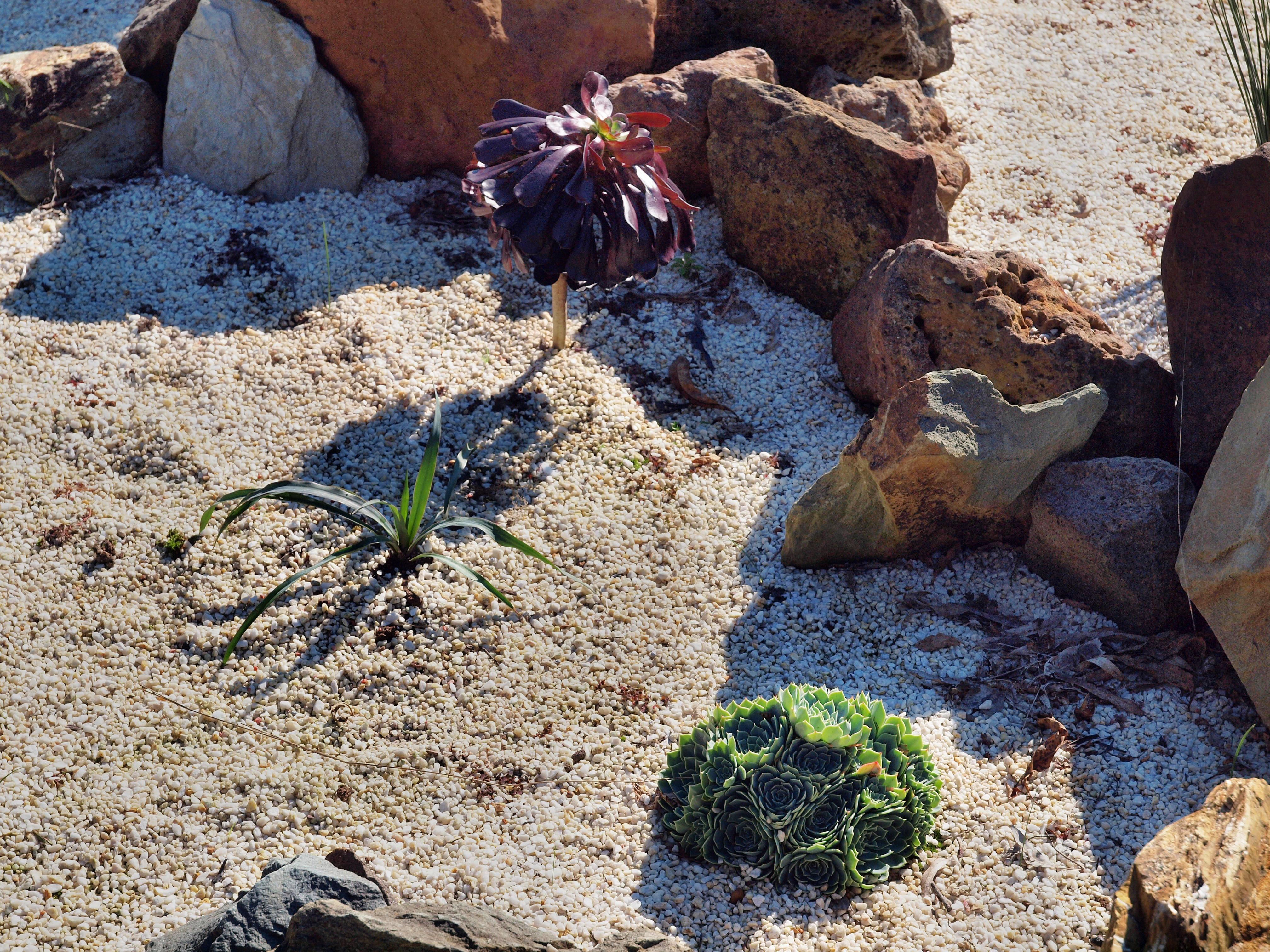 Yucca-recurvifolia.jpeg