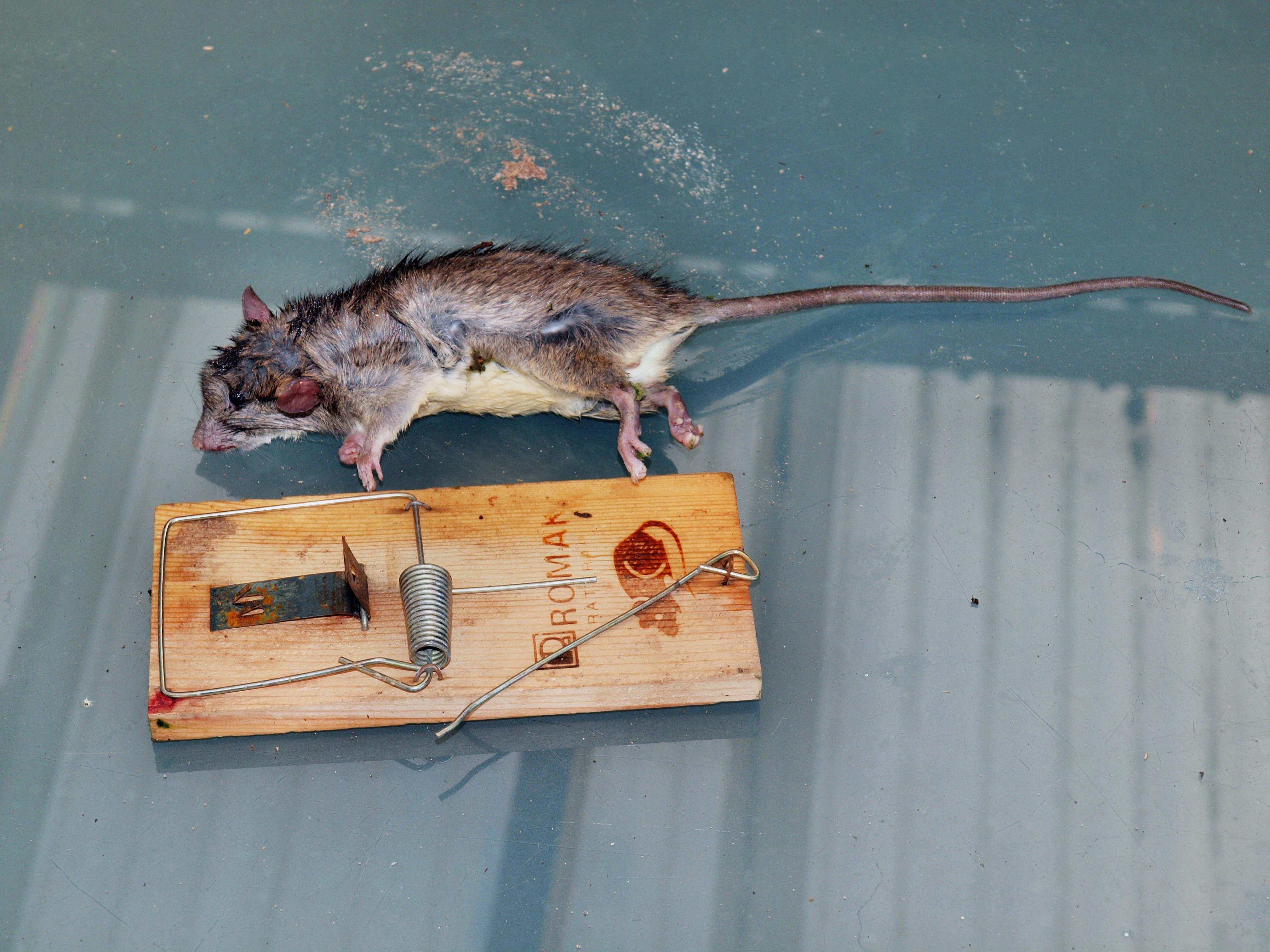 Rat-1.jpeg