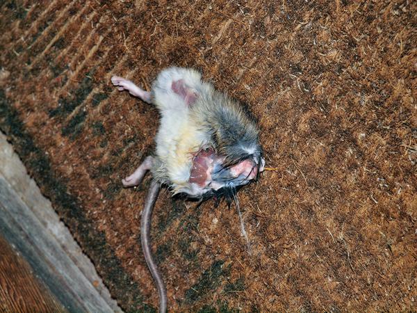 Rat-3.jpeg