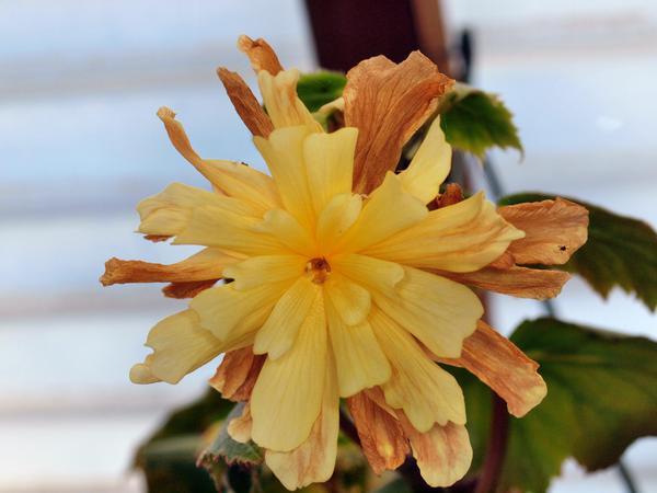 Begonia-3.jpeg