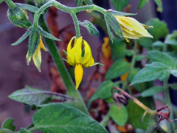 Solanum-lycopersicum.jpeg