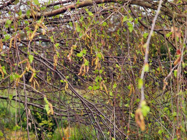Birch-in-spring.jpeg