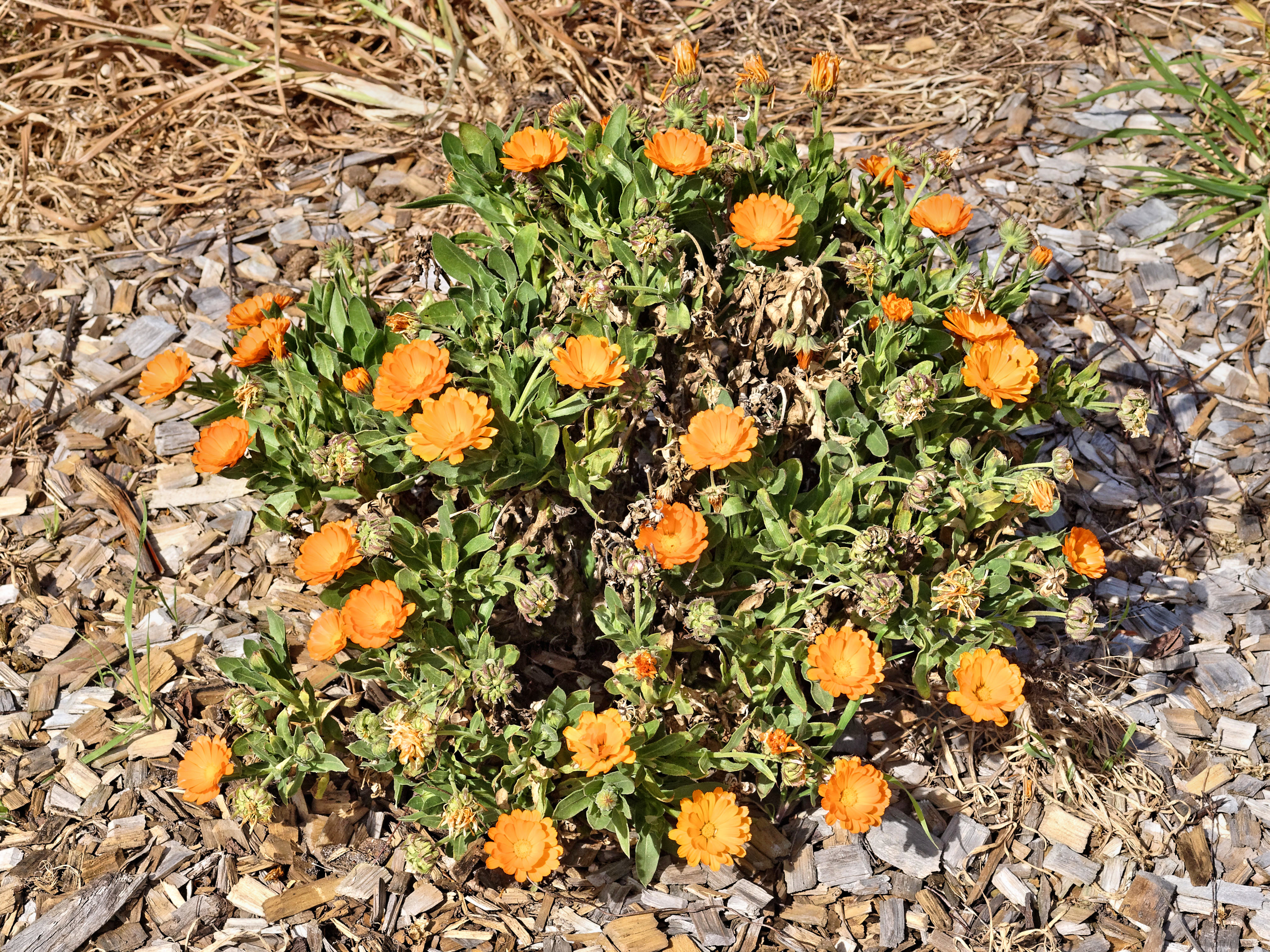 This should be Calendula-1.jpeg.  Is it missing?