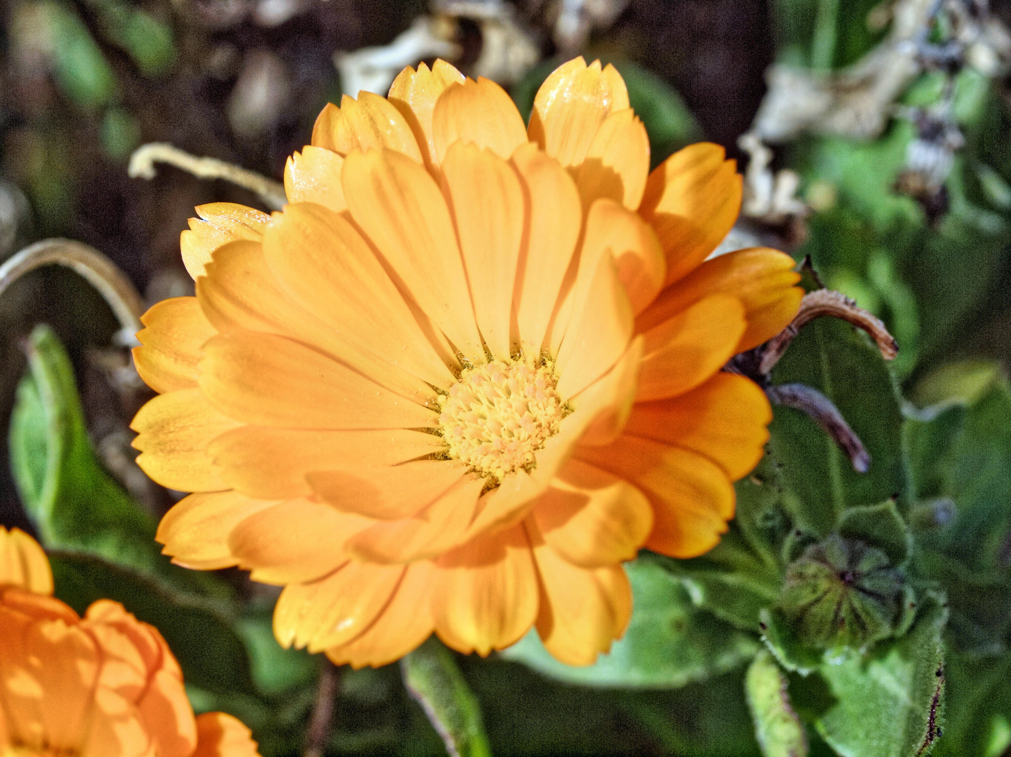 This should be Calendula-2.jpeg.  Is it missing?