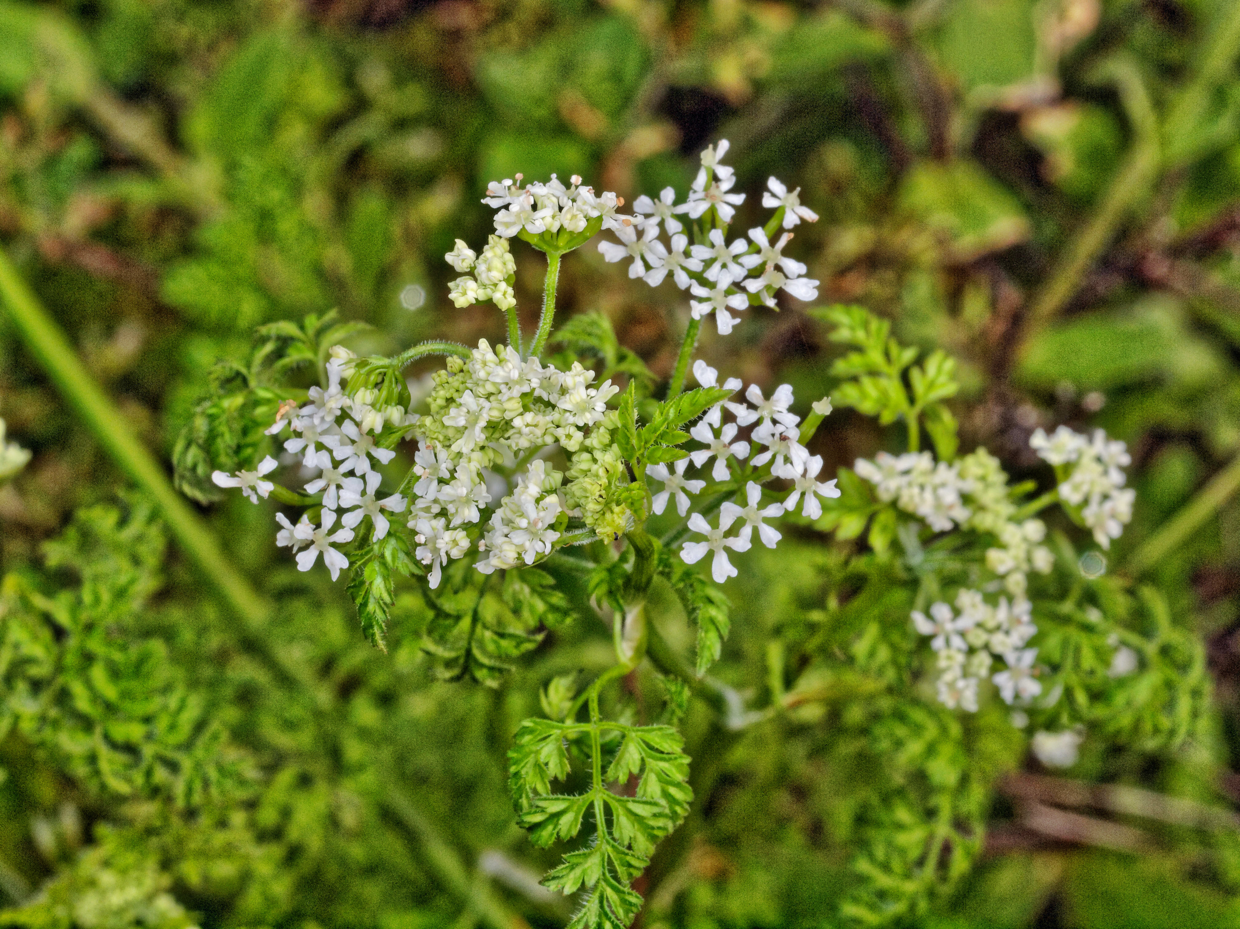 This should be Chervil-1.jpeg.  Is it missing?