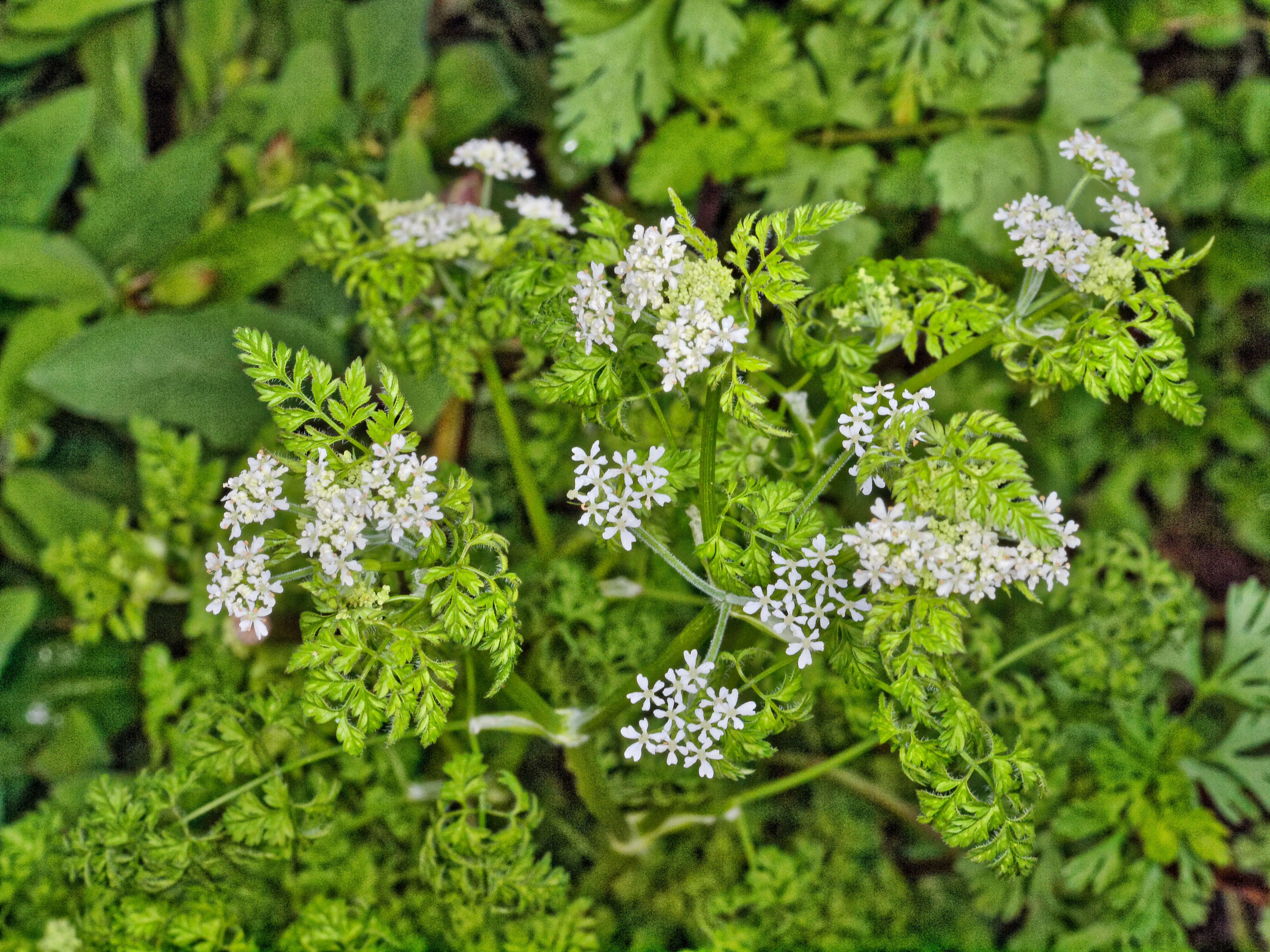 This should be Chervil-2.jpeg.  Is it missing?