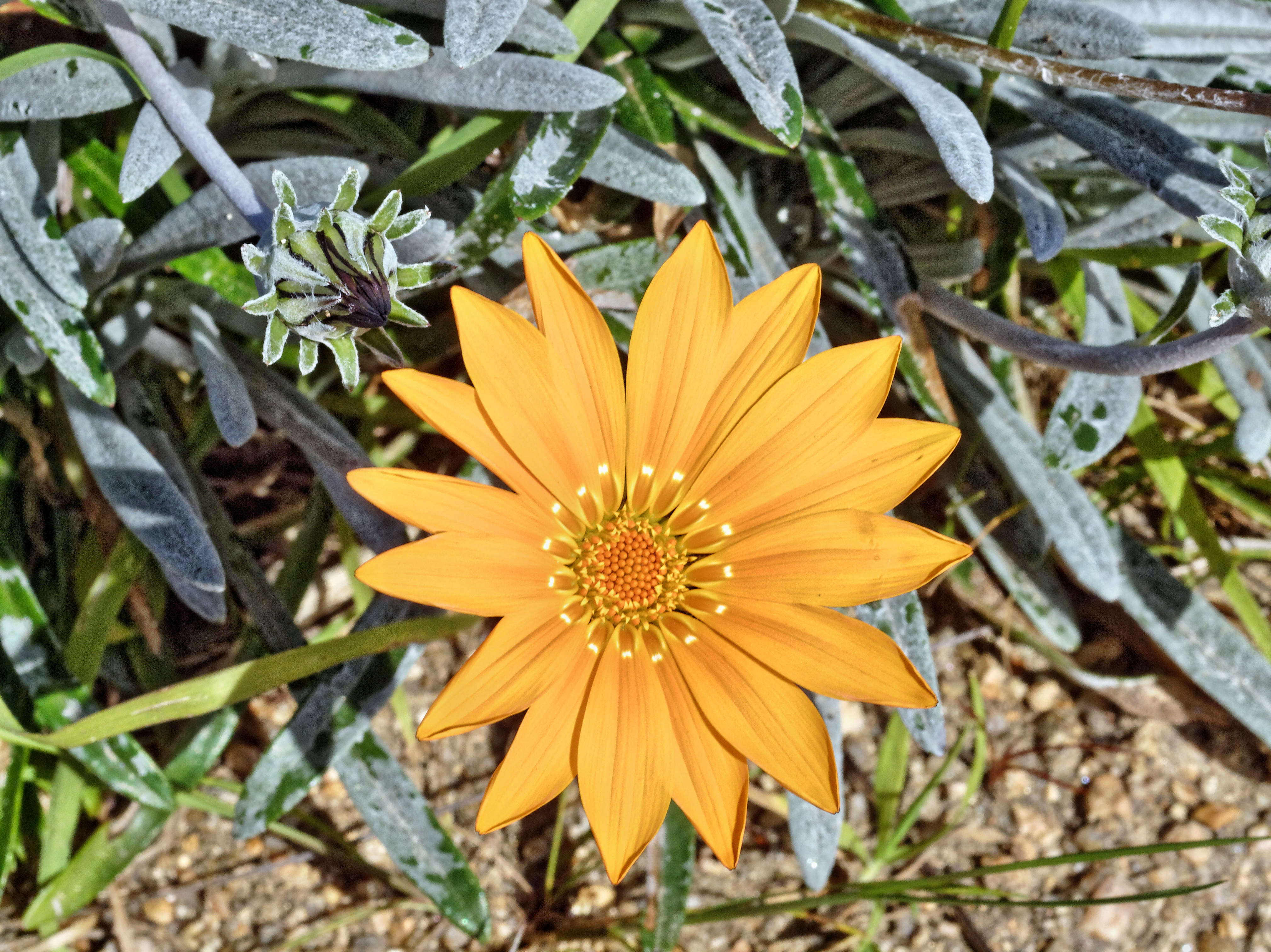 This should be Gazania-2.jpeg.  Is it missing?