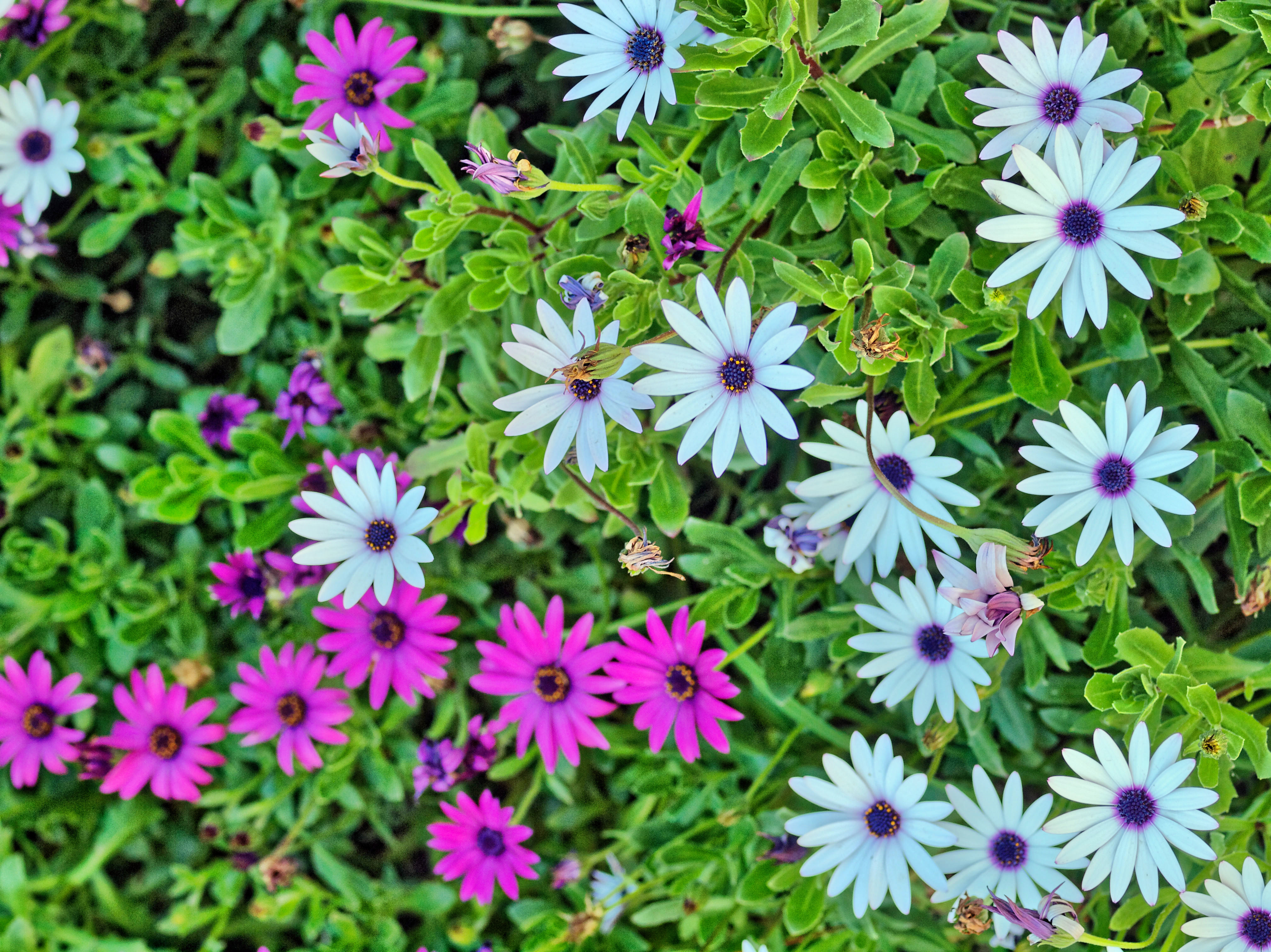 This should be Osteospermum-4.jpeg.  Is it missing?