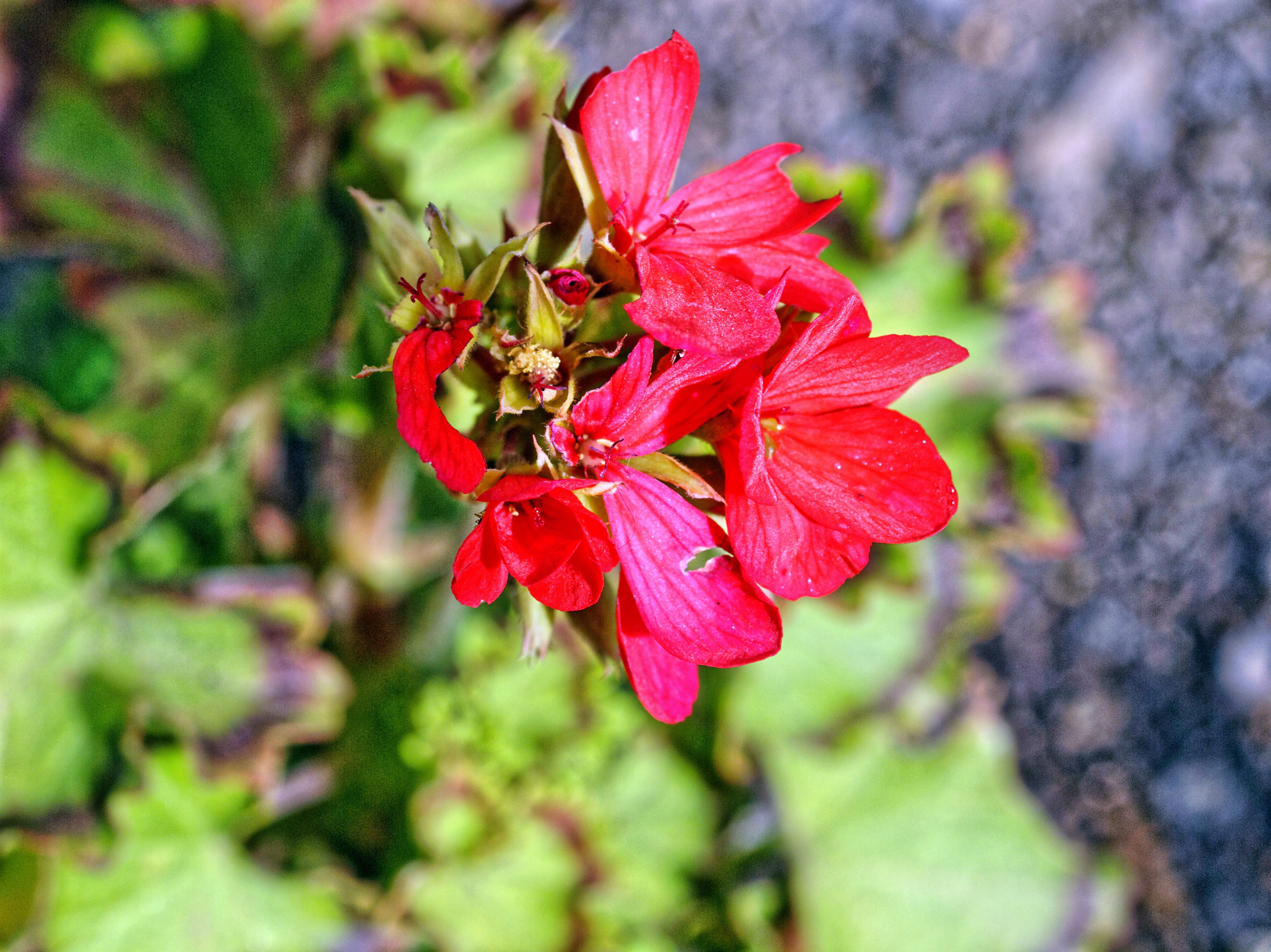 Pelargonium-1.jpeg