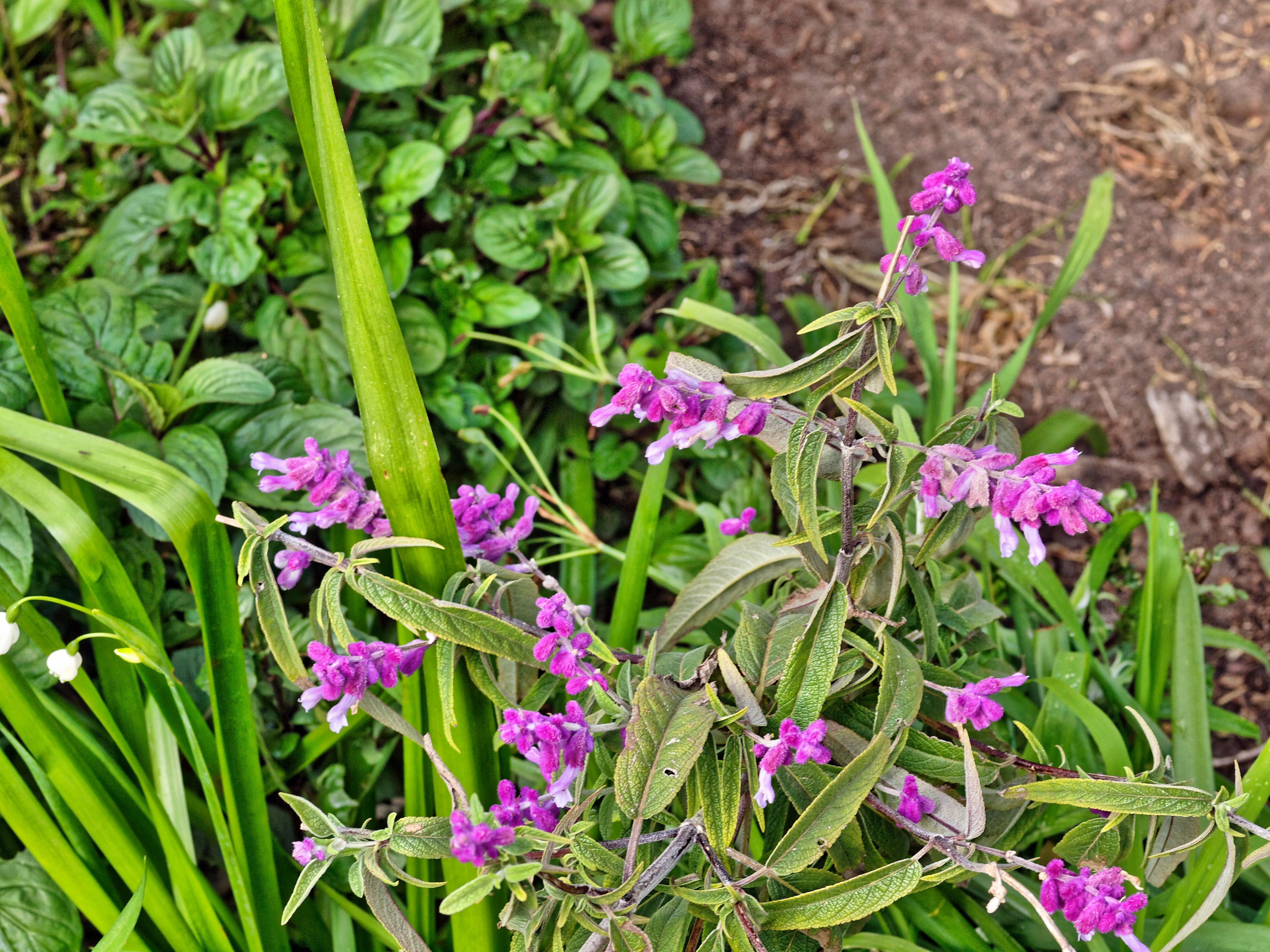 This should be Salvia-leucantha.jpeg.  Is it missing?