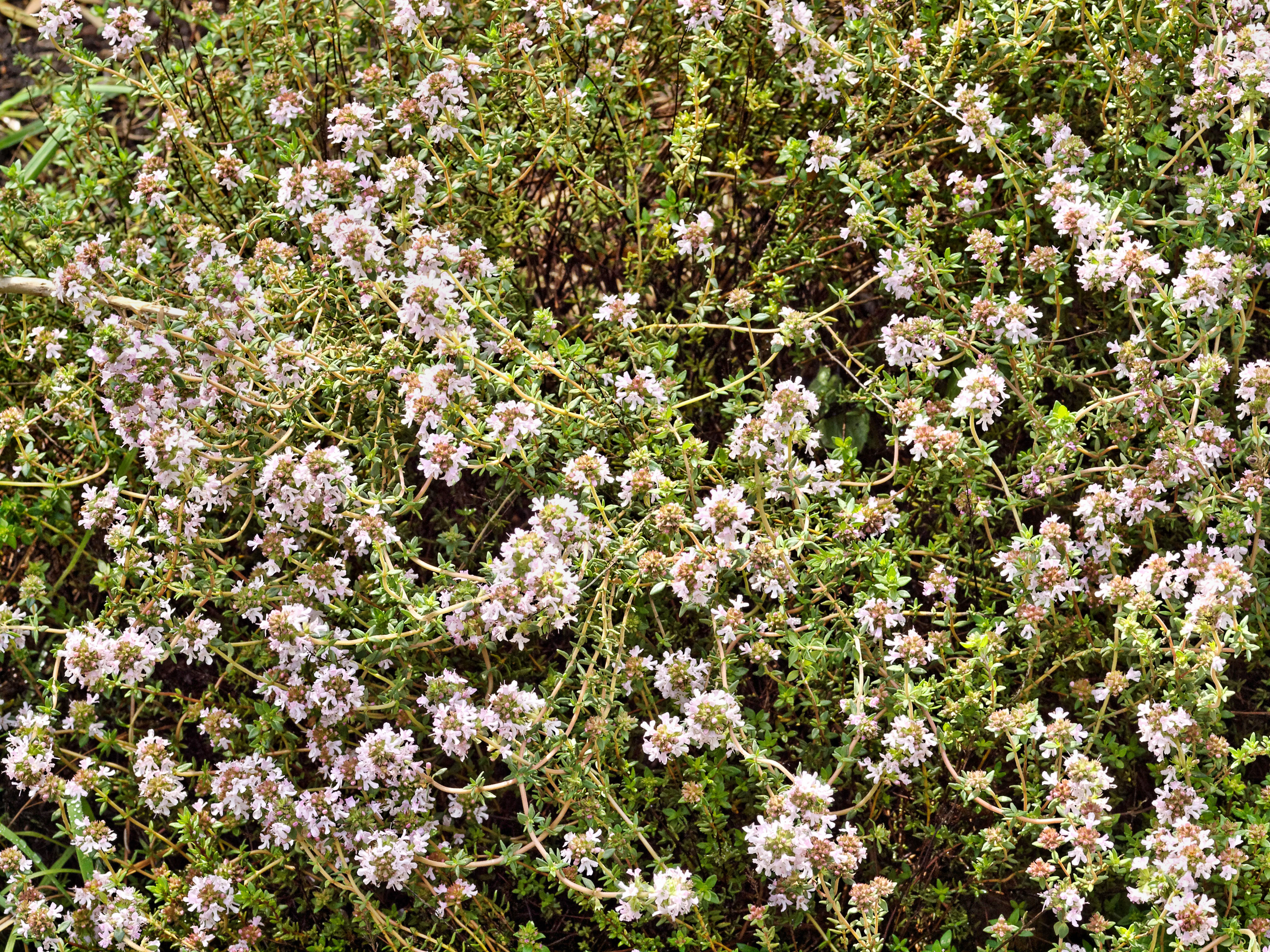 This should be Thyme-1.jpeg.  Is it missing?