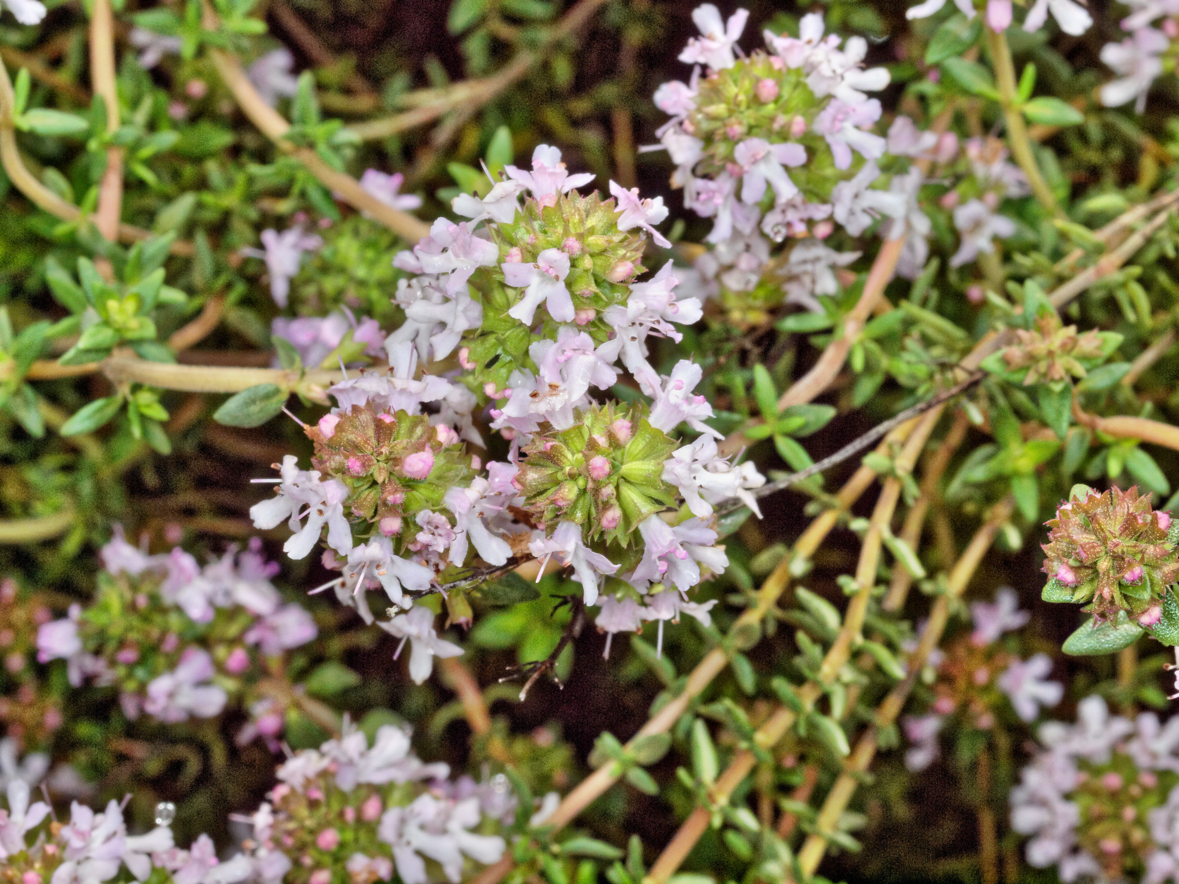 This should be Thyme-2.jpeg.  Is it missing?