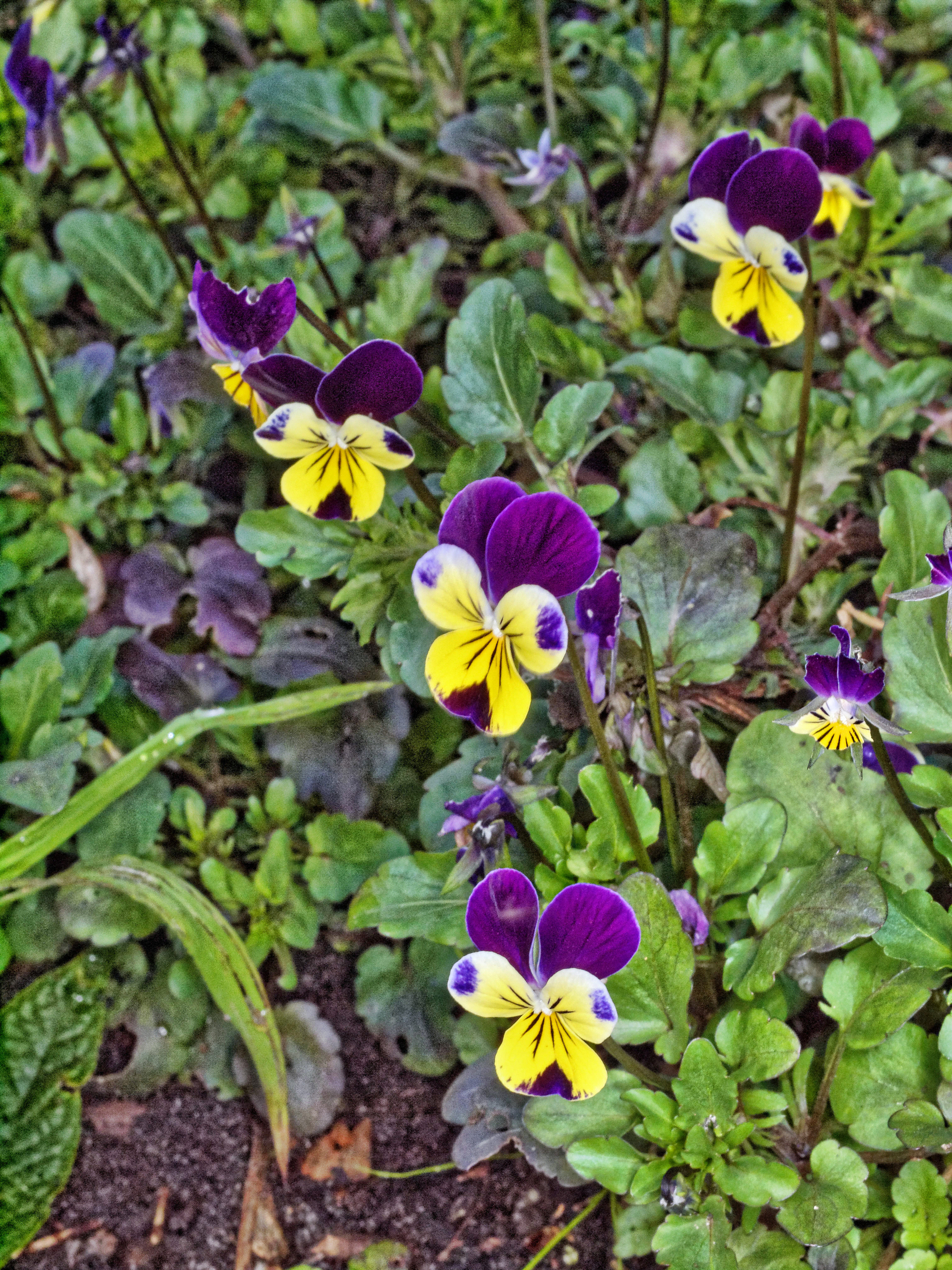 This should be Viola-tricolor-3.jpeg.  Is it missing?