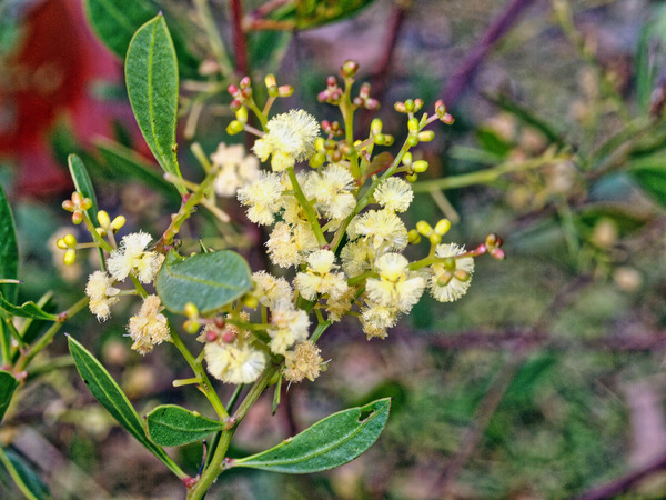 Acacia-myrtifolia.jpeg