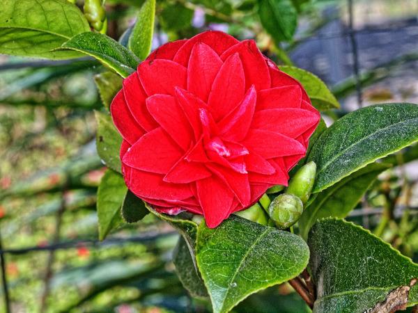 Camellia-2.jpeg