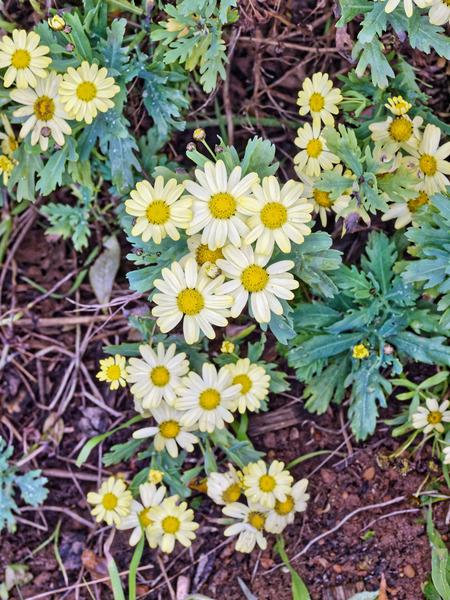 Daisy-4.jpeg