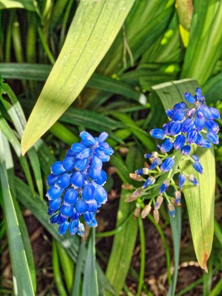 Hyacinth-2.jpeg