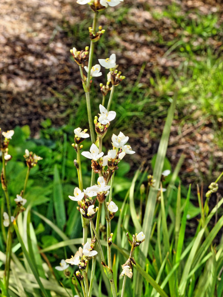 Libertia-grandiflora.jpeg