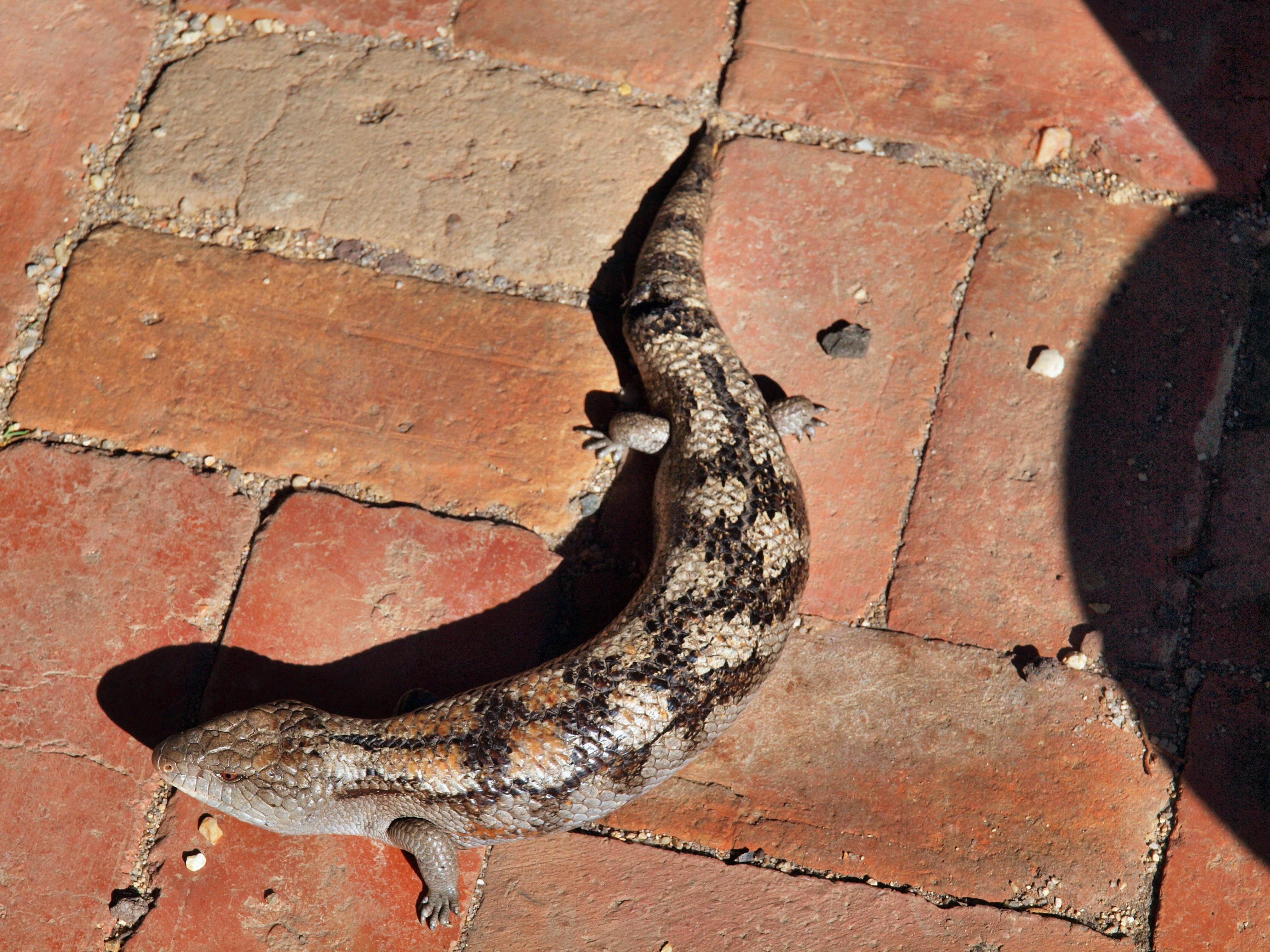 Lizard-2.jpeg