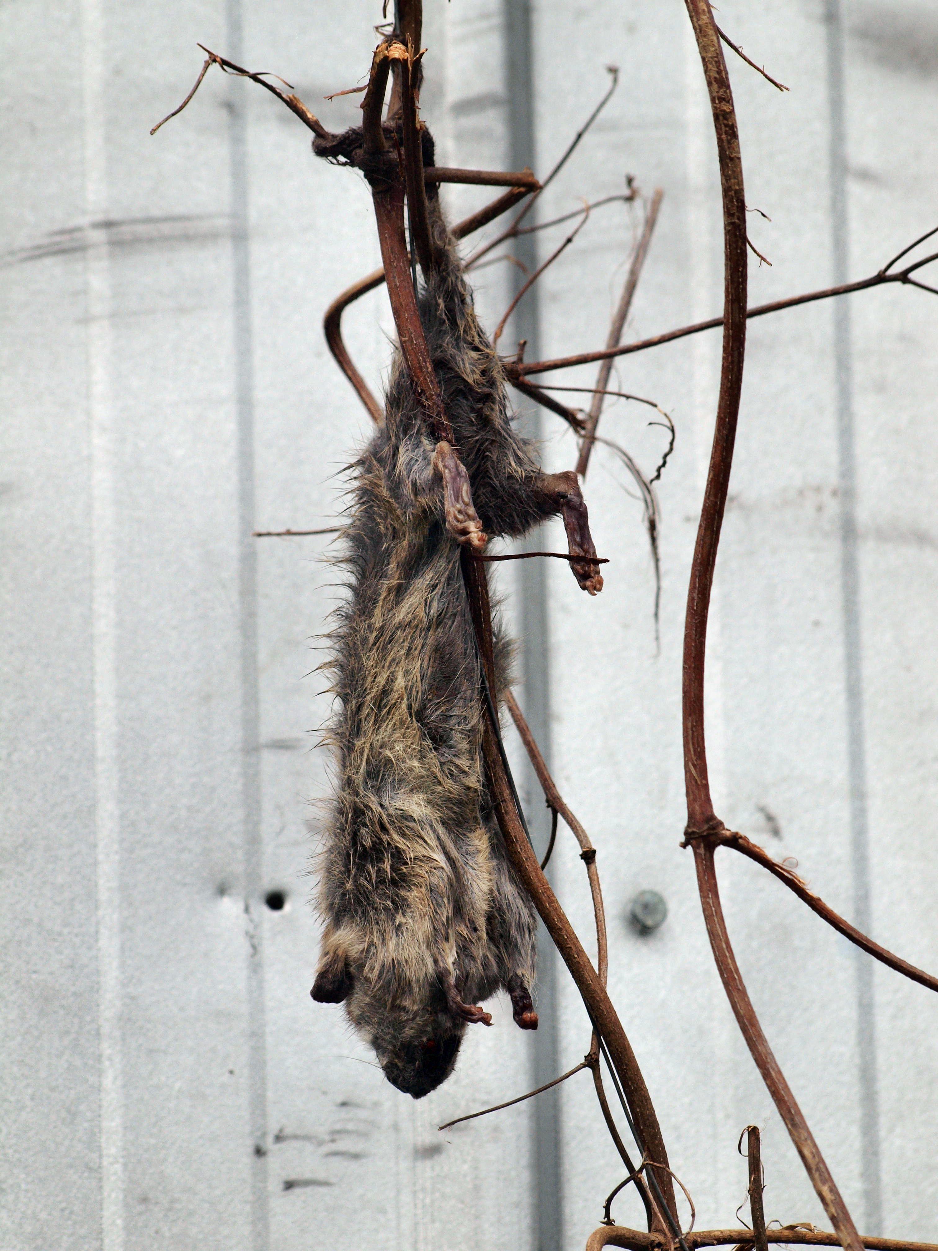 Rat-4.jpeg