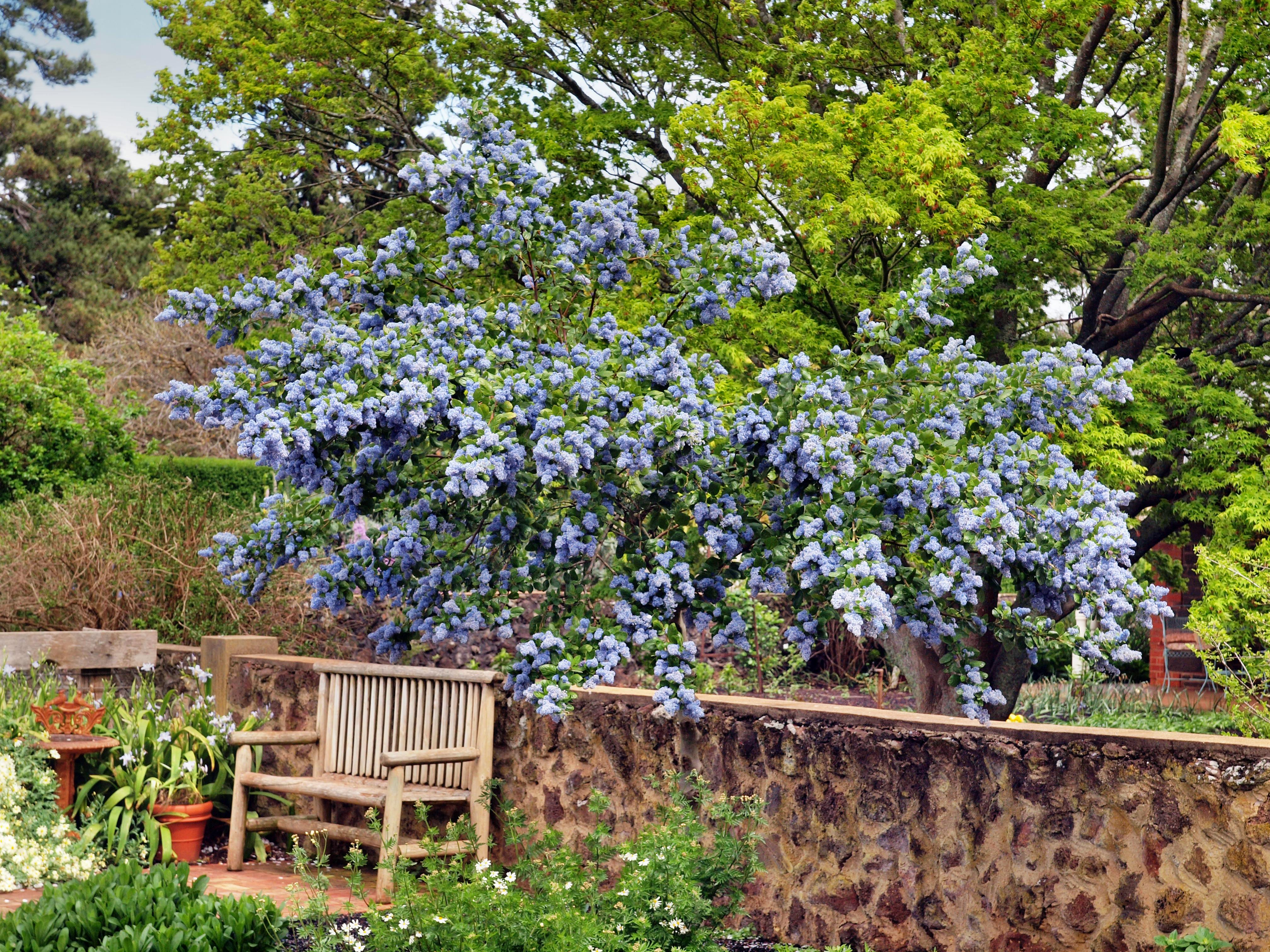 This should be Ceanothus.jpeg.  Is it missing?