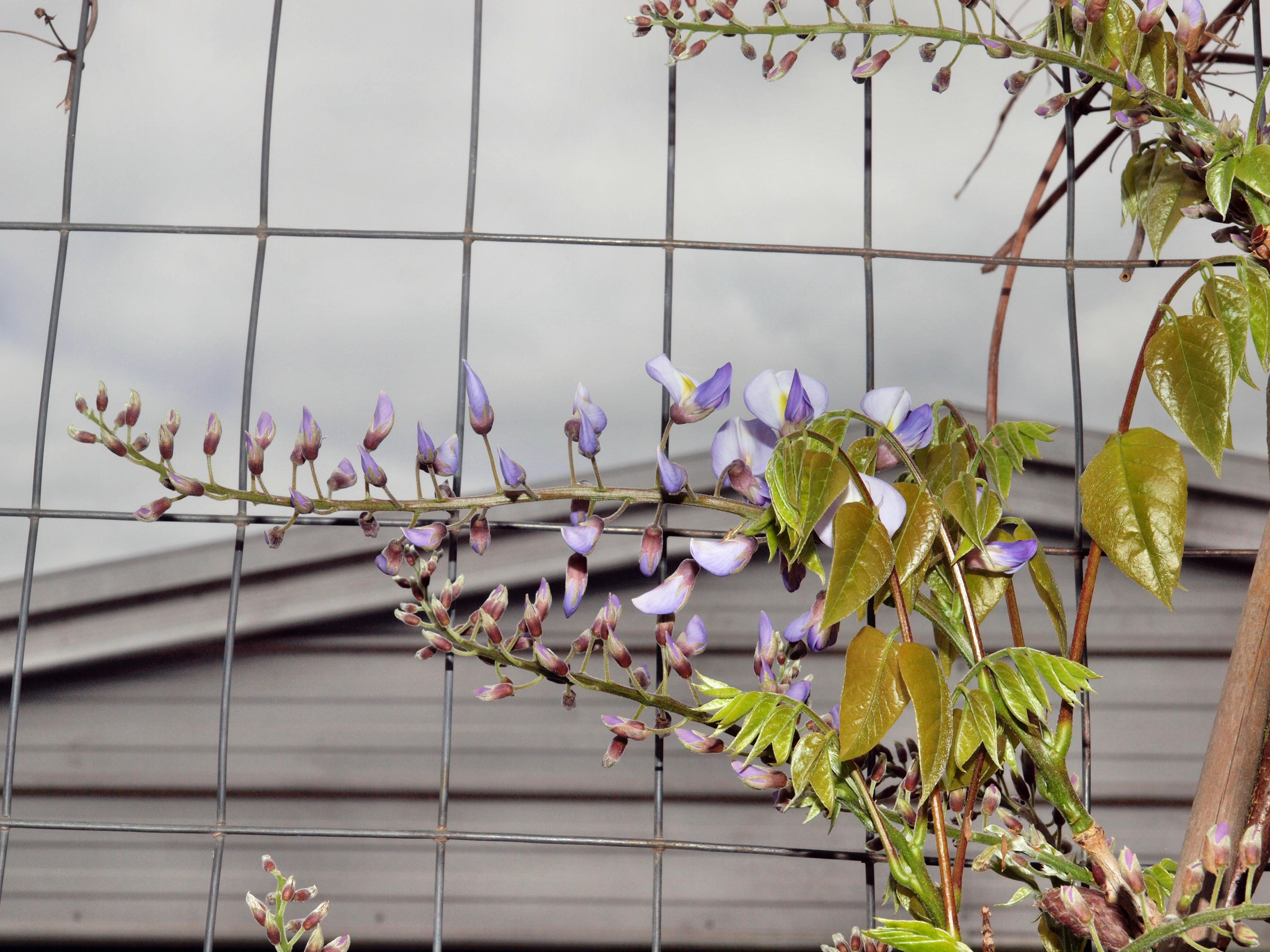 This should be Wisteria-japonica.jpeg.  Is it missing?