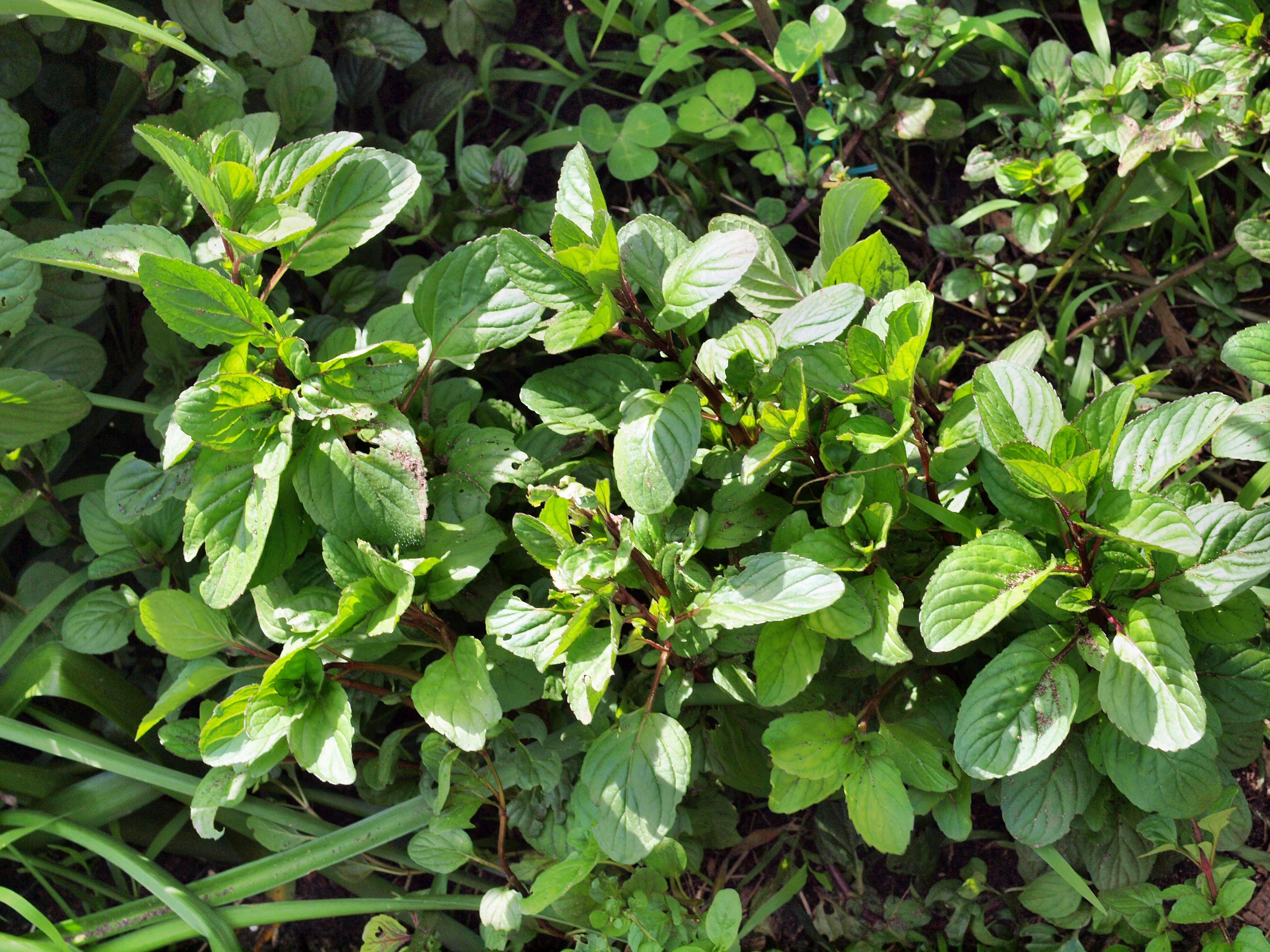 Salvia-diesaustraliae.jpeg