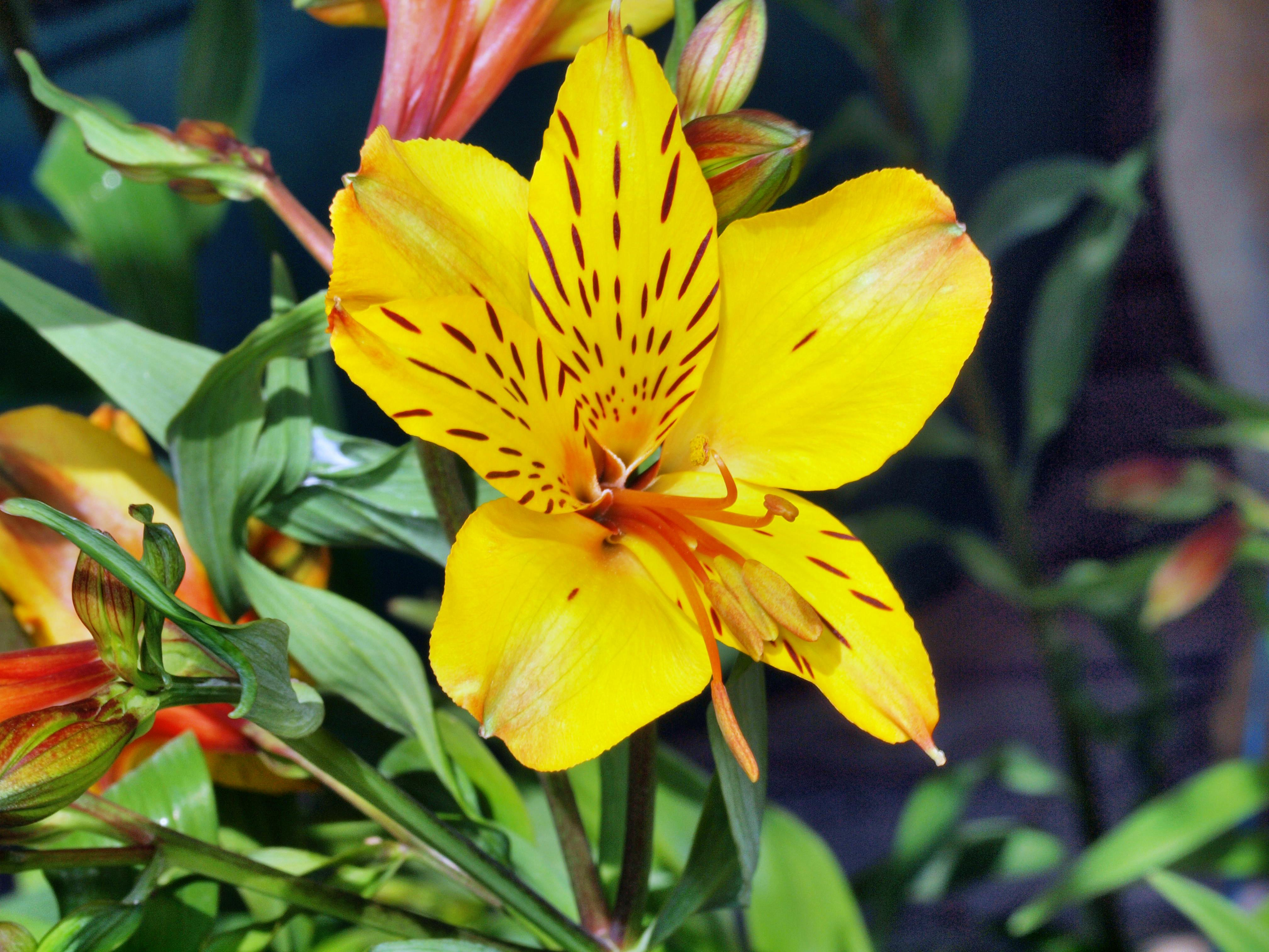 This should be Alstroemeria-2.jpeg.  Is it missing?