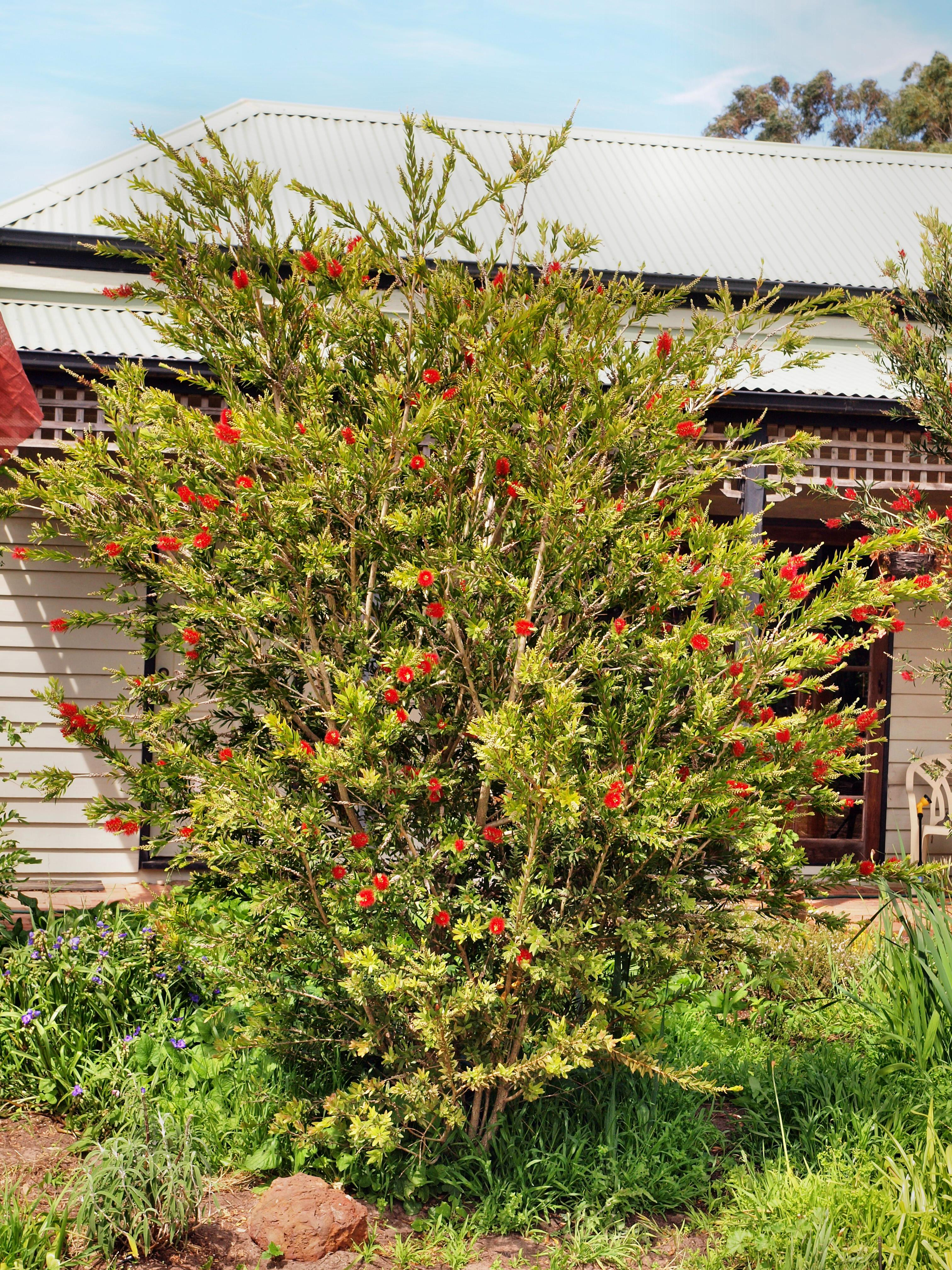 This should be Callistemon-4.jpeg.  Is it missing?