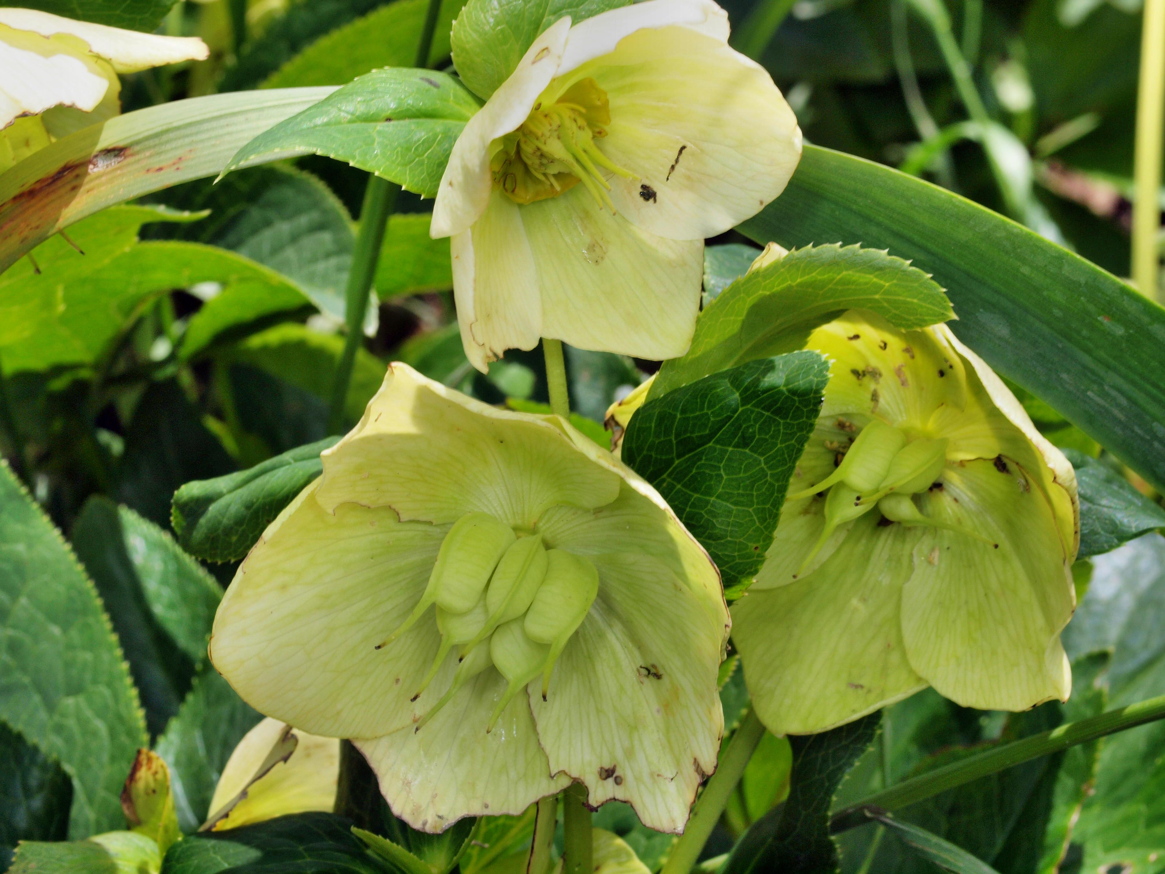 This should be Hellebore-1.jpeg.  Is it missing?