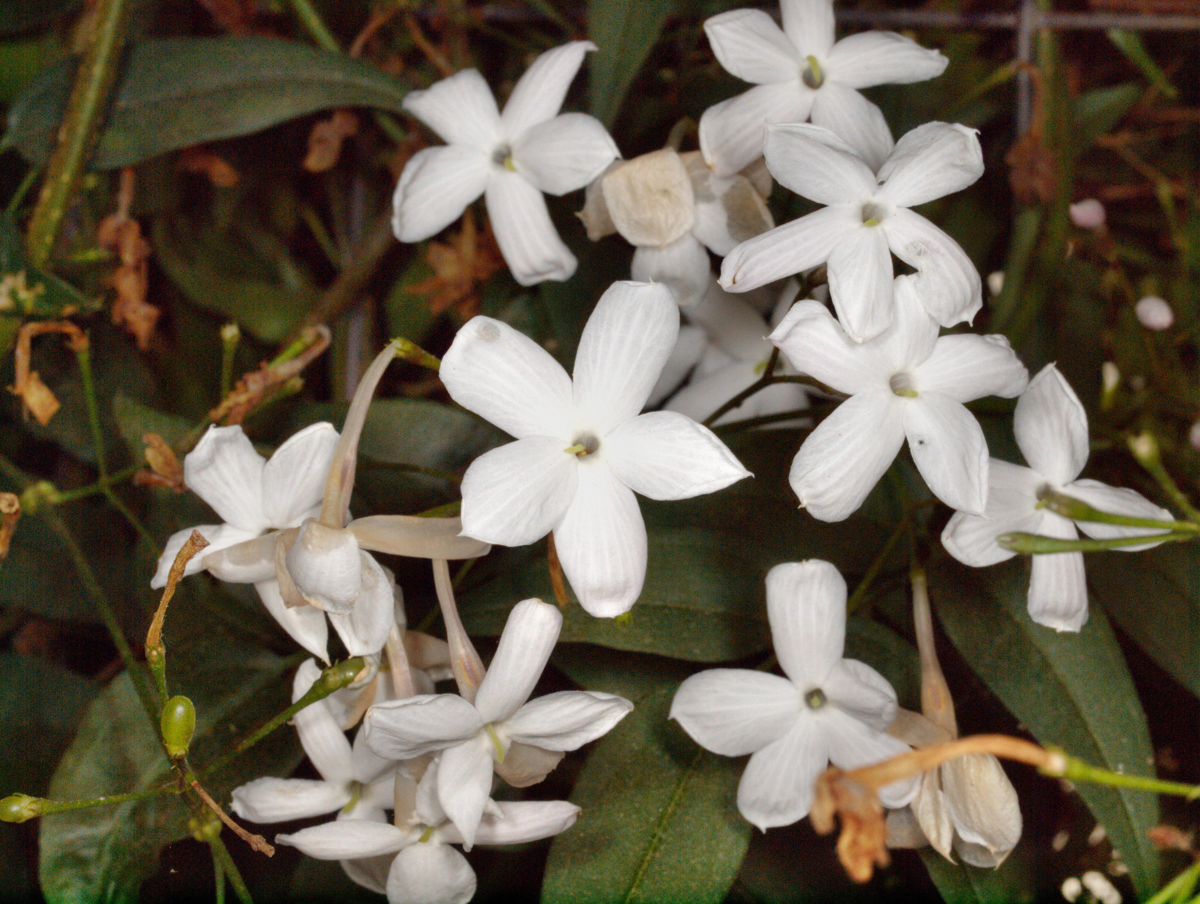 Jasminum-polyanthum.jpeg