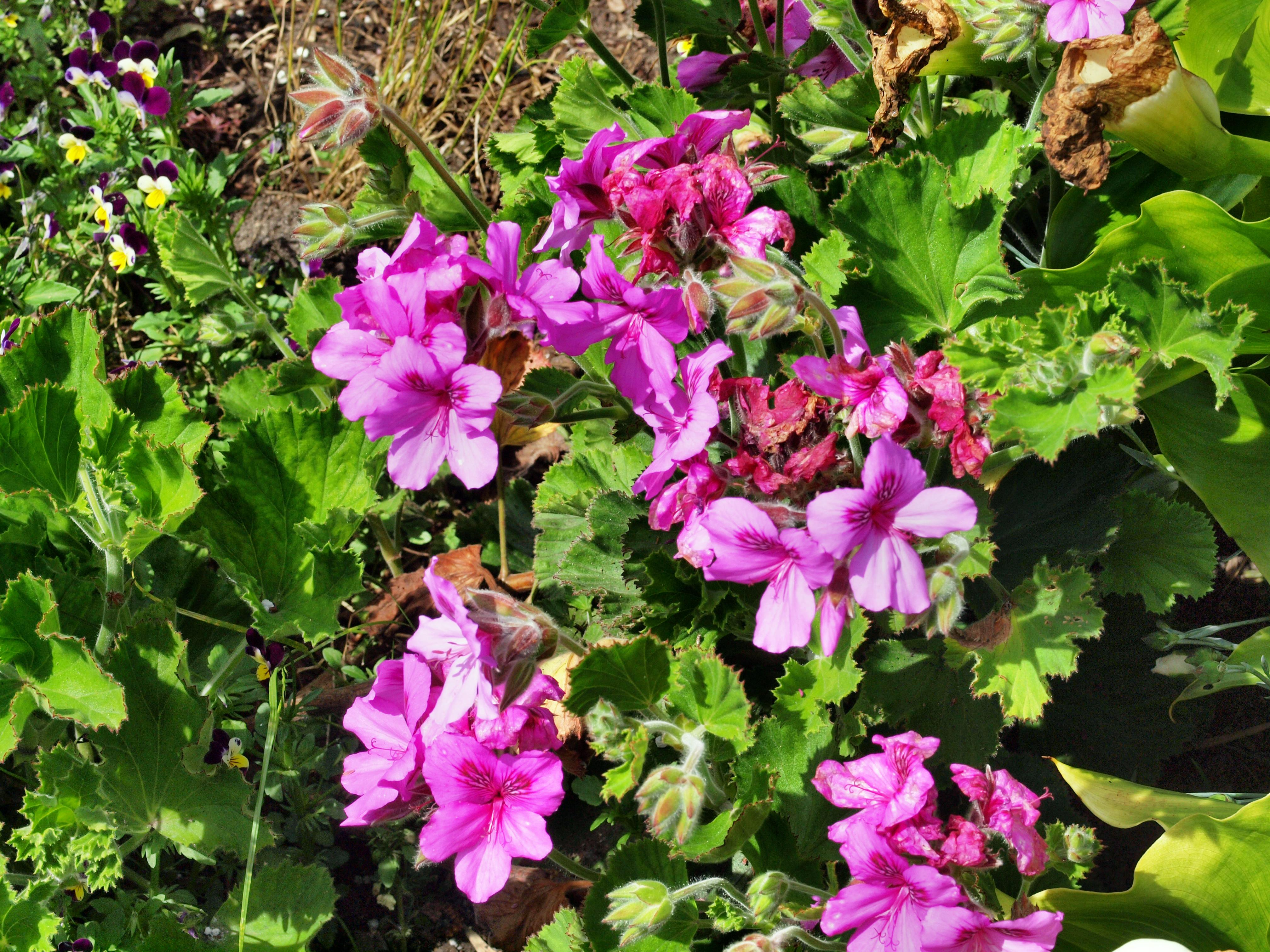 This should be Pelargonium-10.jpeg.  Is it missing?