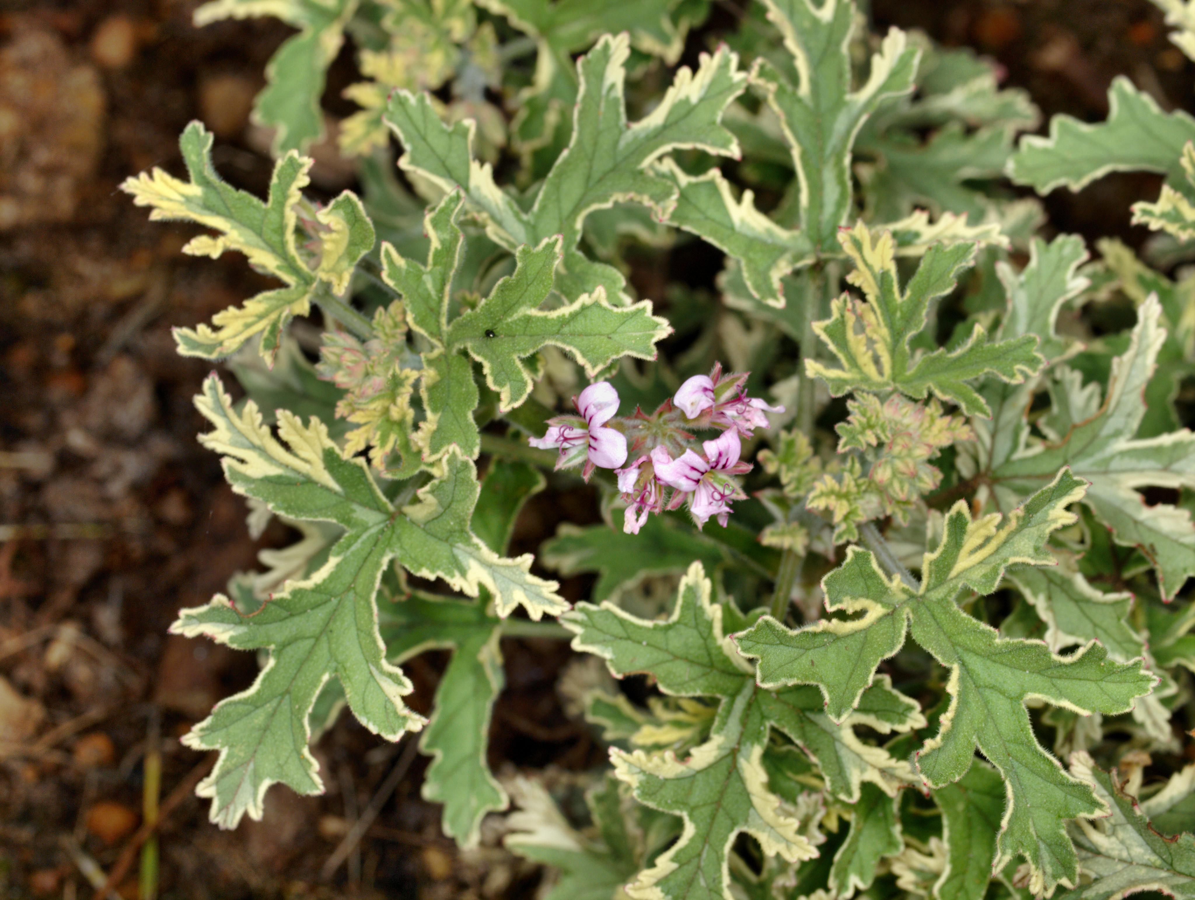 Pelargonium-11.jpeg
