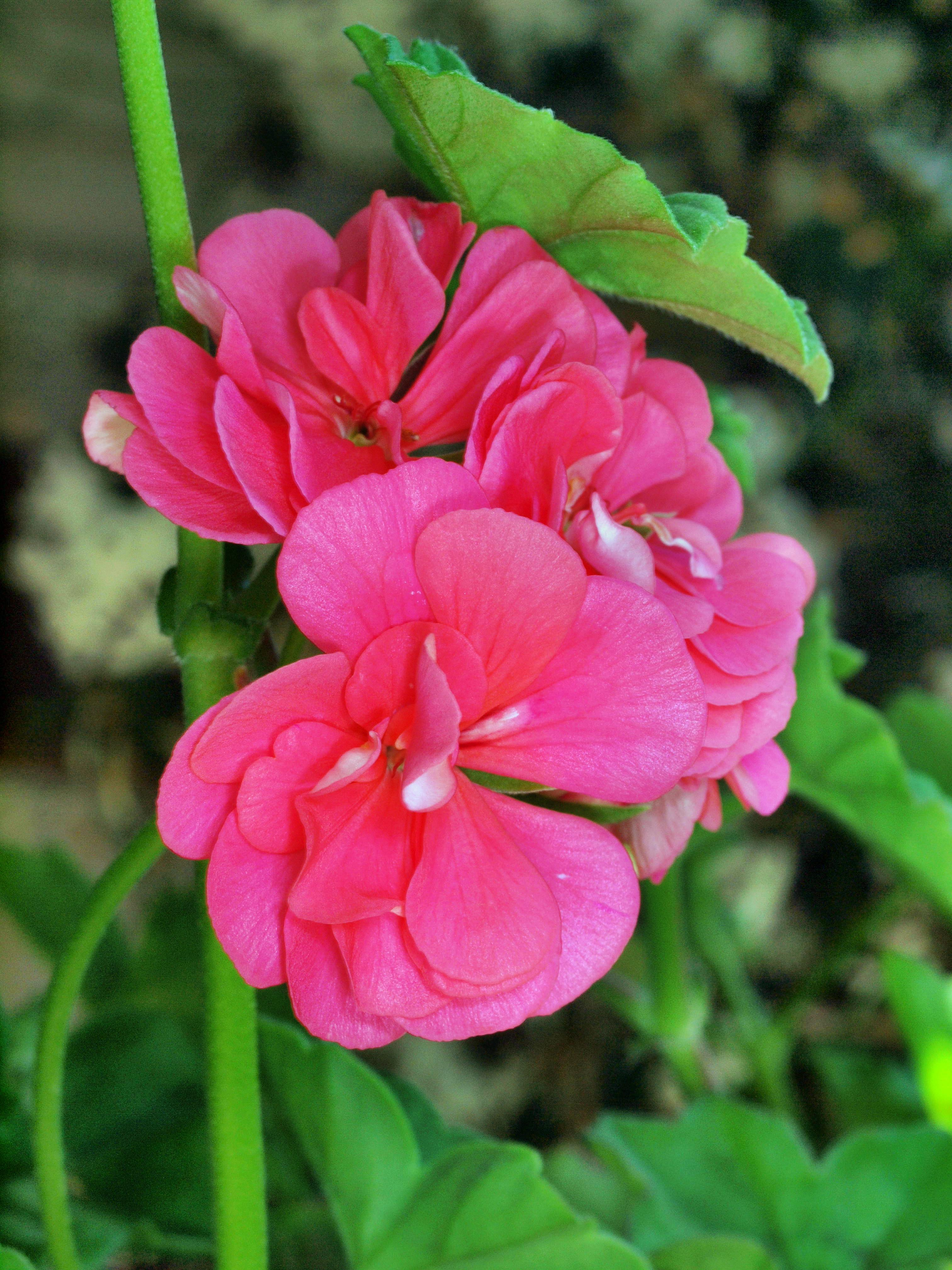 This should be Pelargonium-2.jpeg.  Is it missing?
