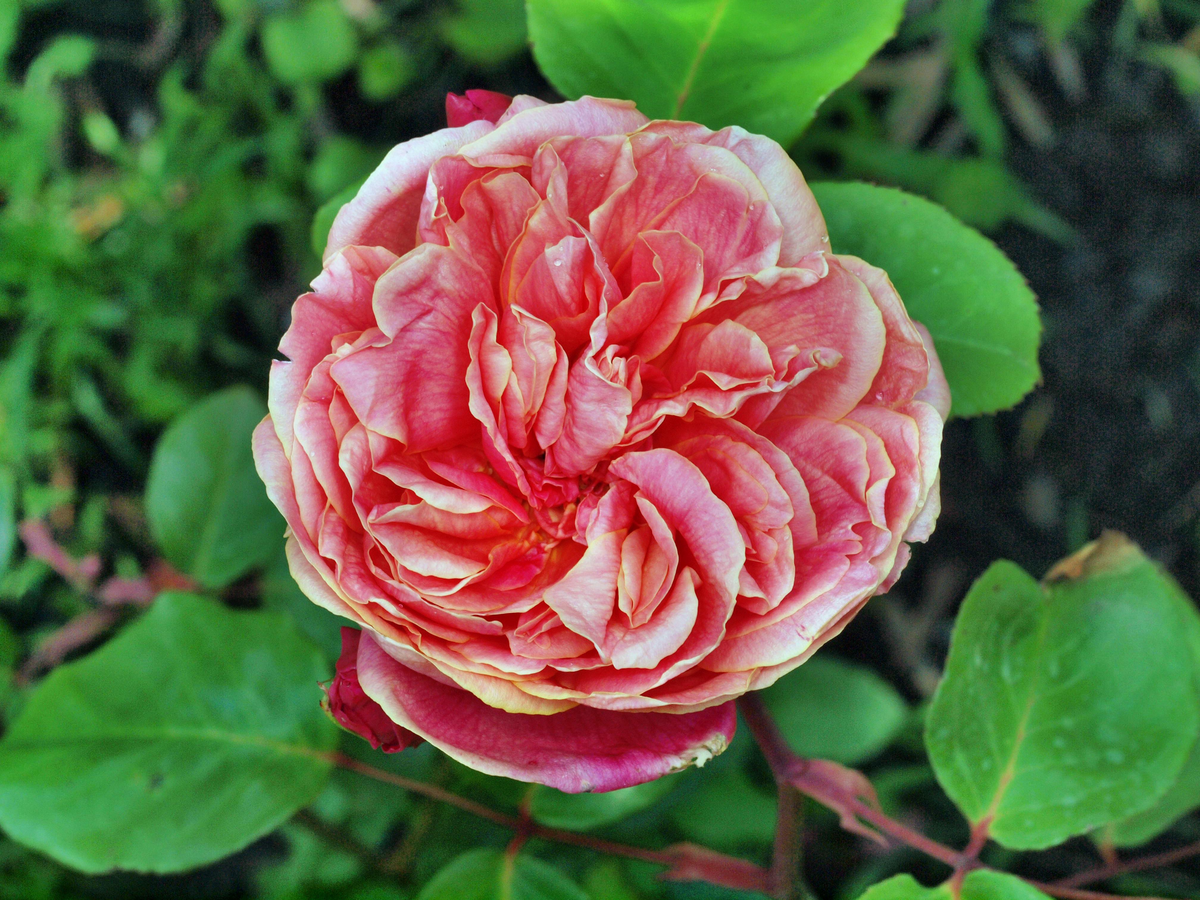 Rosa-Monsiuer-Tillier.jpeg