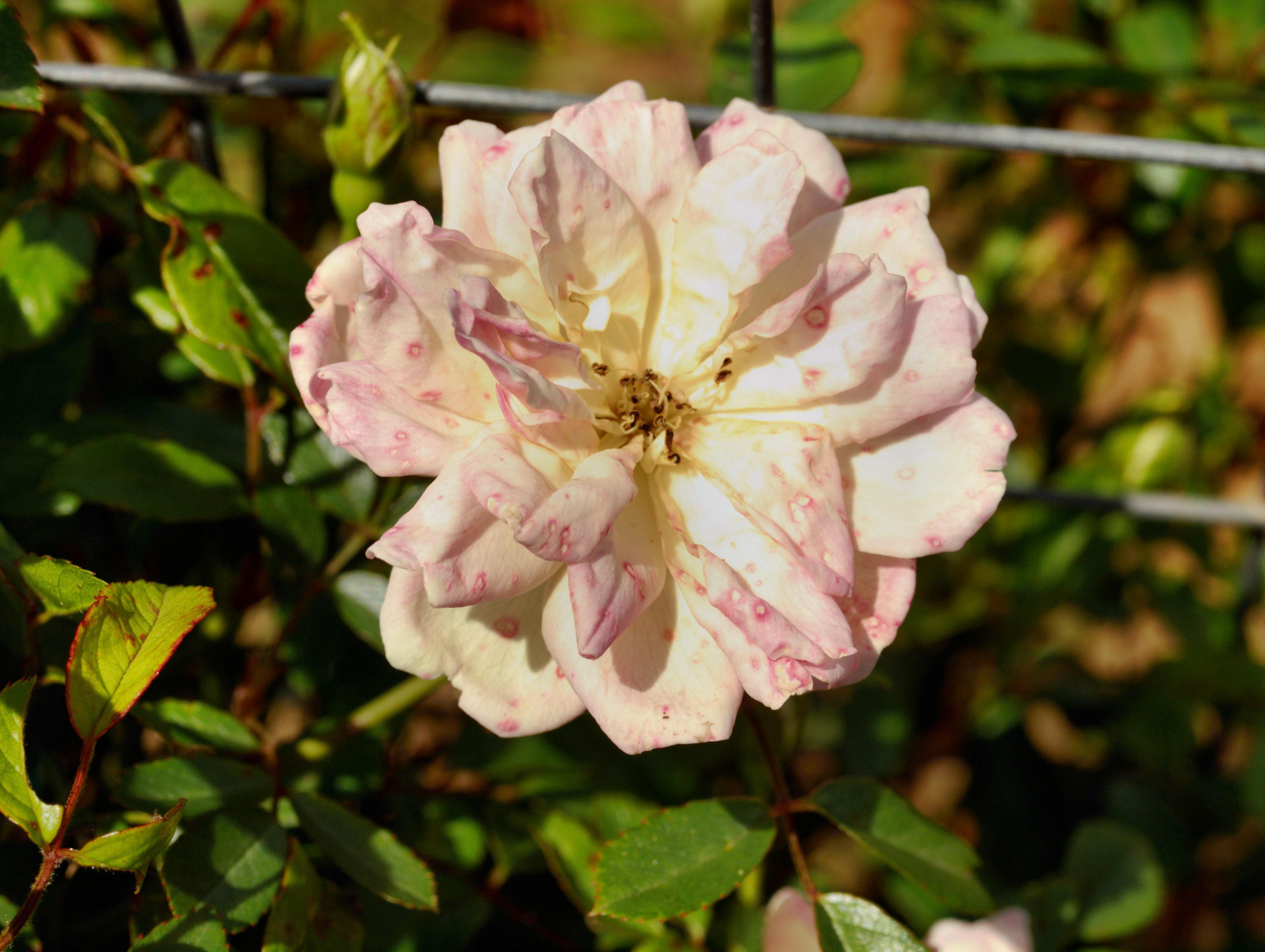 Rosa-Phyllis-Bide-2.jpeg
