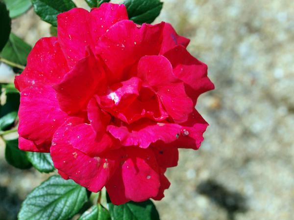 Climbing-rose.jpeg