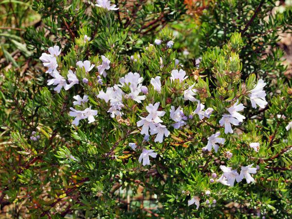 Euphorbia-Diamond-Frost-1.jpeg