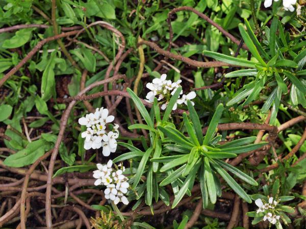 Euphorbia-Diamond-Frost-2.jpeg
