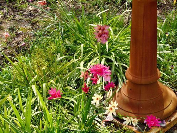 Fritillaria-2.jpeg